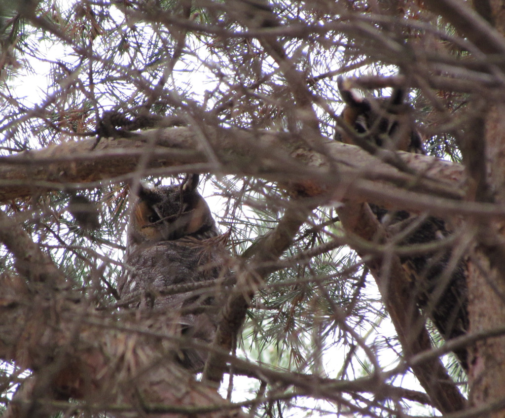 Long-eared Owl... photo taken by Birder of the Year in Macomb County Finalist