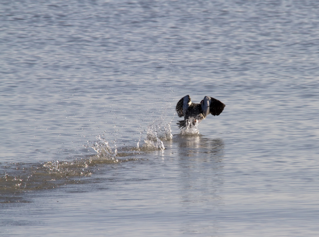 Love the way a Common Merganser takes flight, walking on the water...