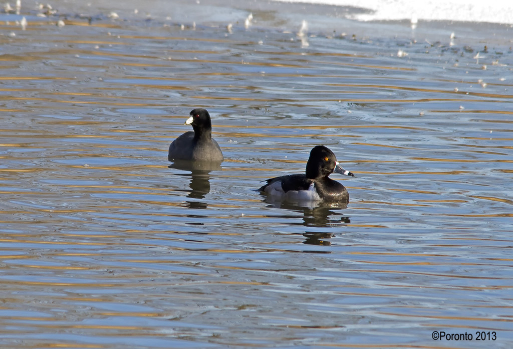 Two friends - American Coot and Ring-necked Duck