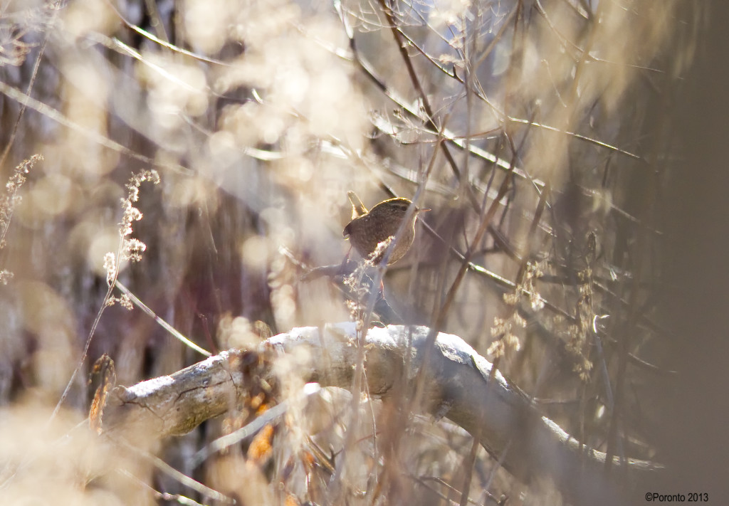 This was the best photo I could get for the first 10 minutes of this skulking Winter Wren