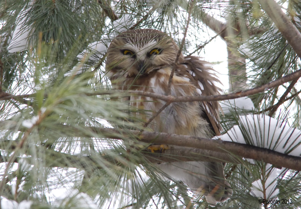 Northern Saw-whet Owl... one of the few times it opened its eyes..