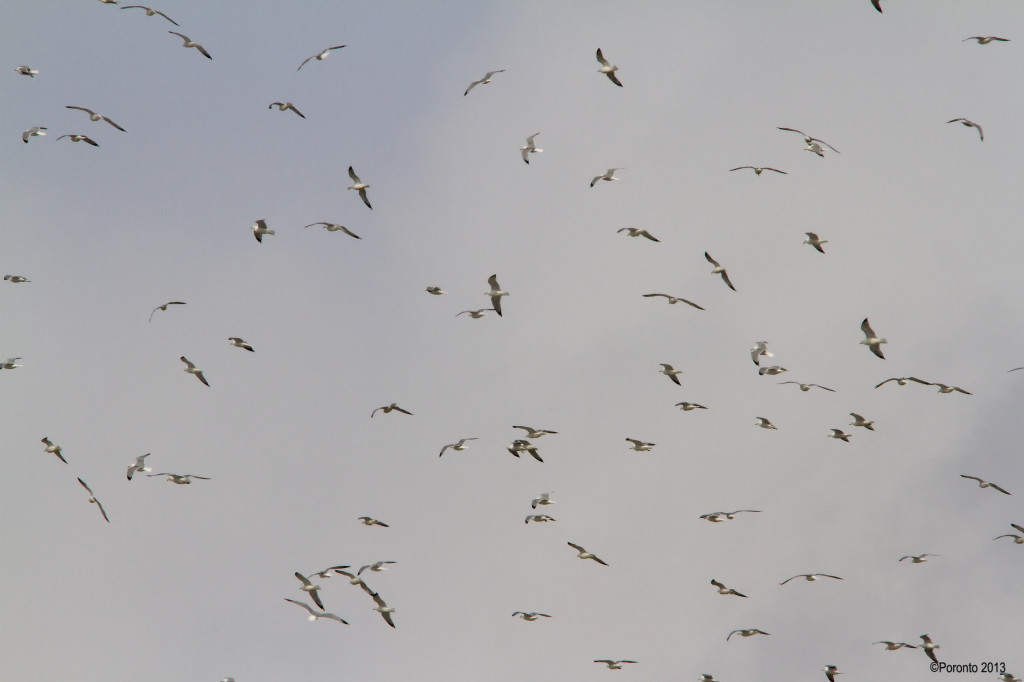 Large Flock of Ring-billed Gulls at Landfill at 28mi and Frost Rd