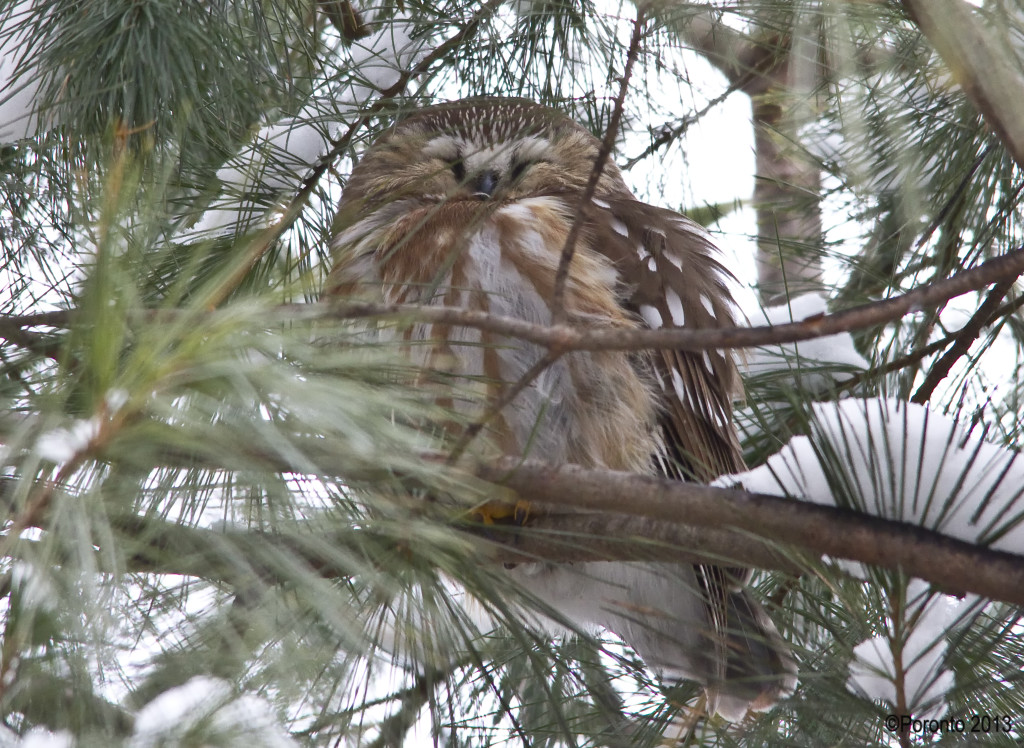 Once in awhile the owl would puff up all his feathers as it slept...