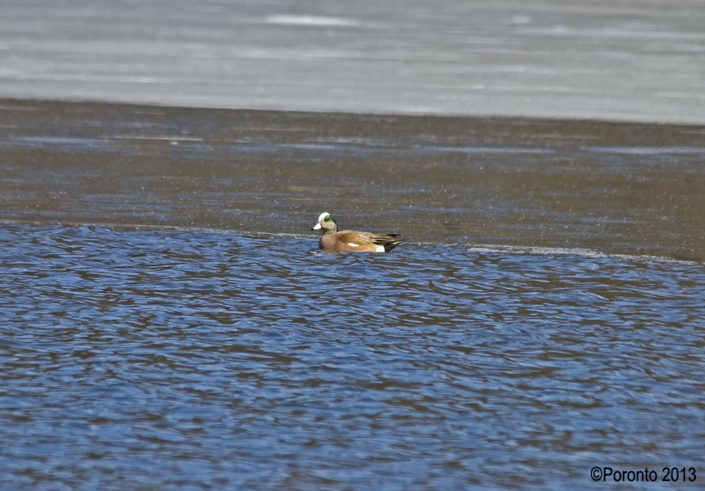 A hundred yard shot of the American Wigeon from across the lake... He never ventured close