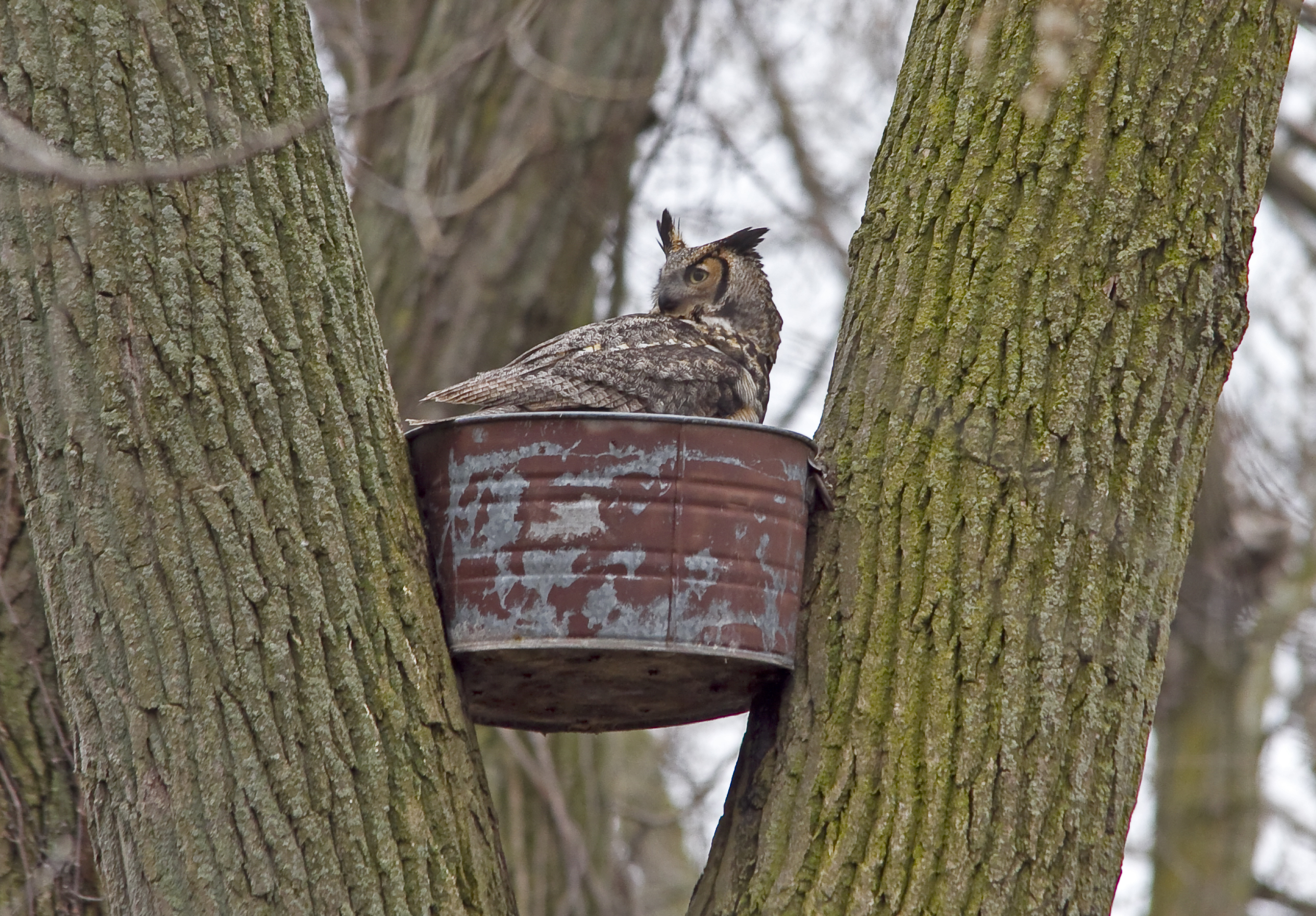 Owl Nests Pictures Great Horned Owl – Nest