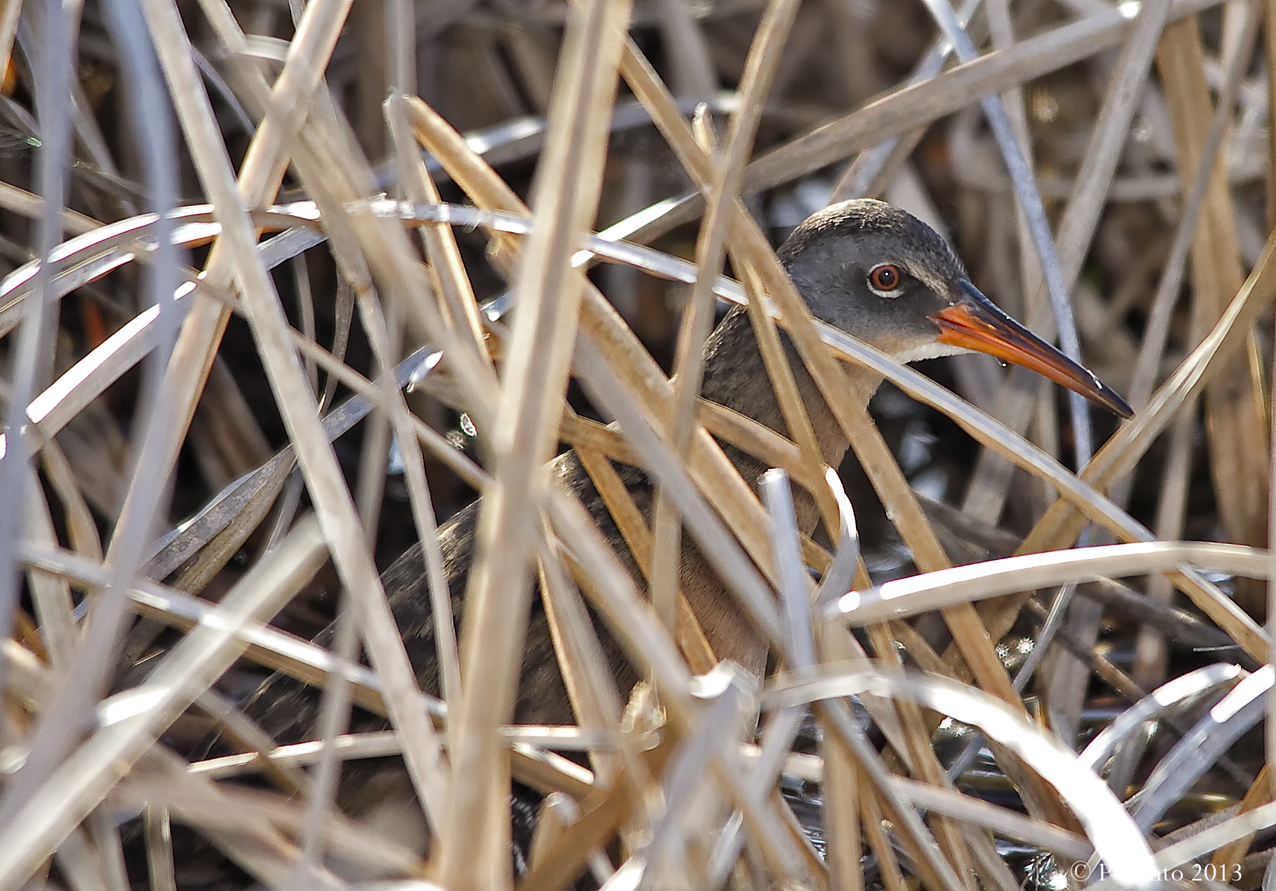 Virginia Rail peaking out of the marsh