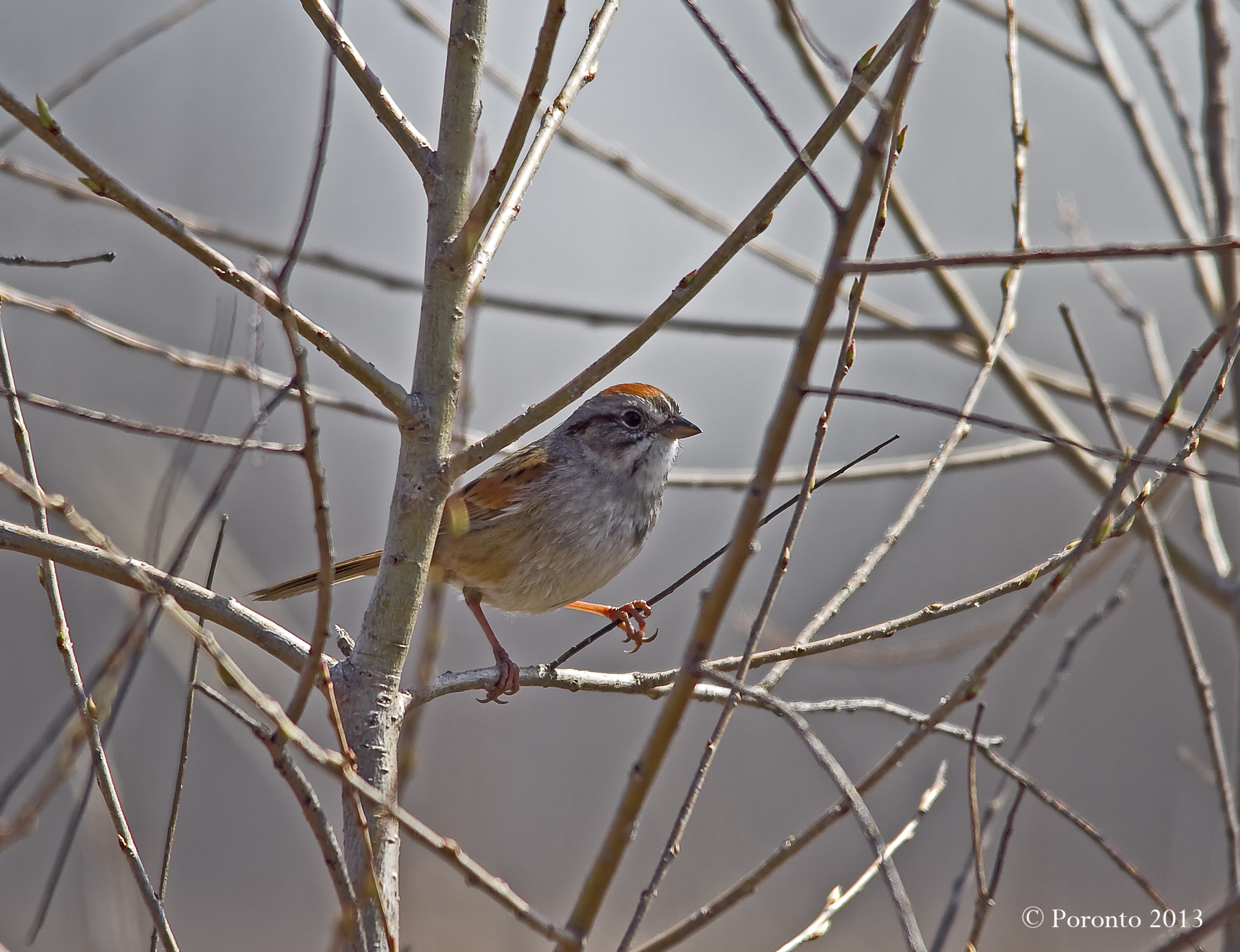 Swamp Sparrow at Wetzel