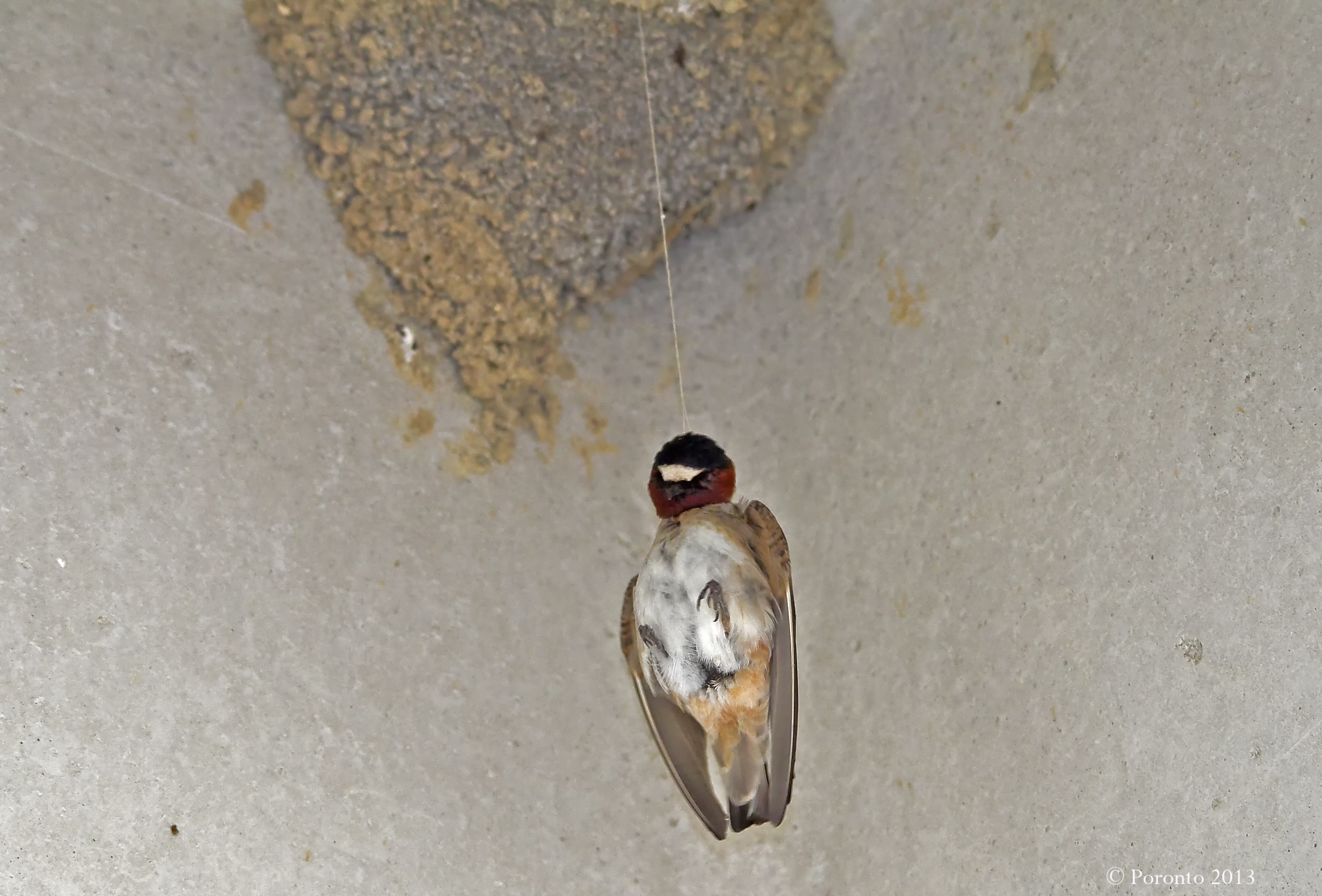 Cliff Swallow who accidentally hung itself