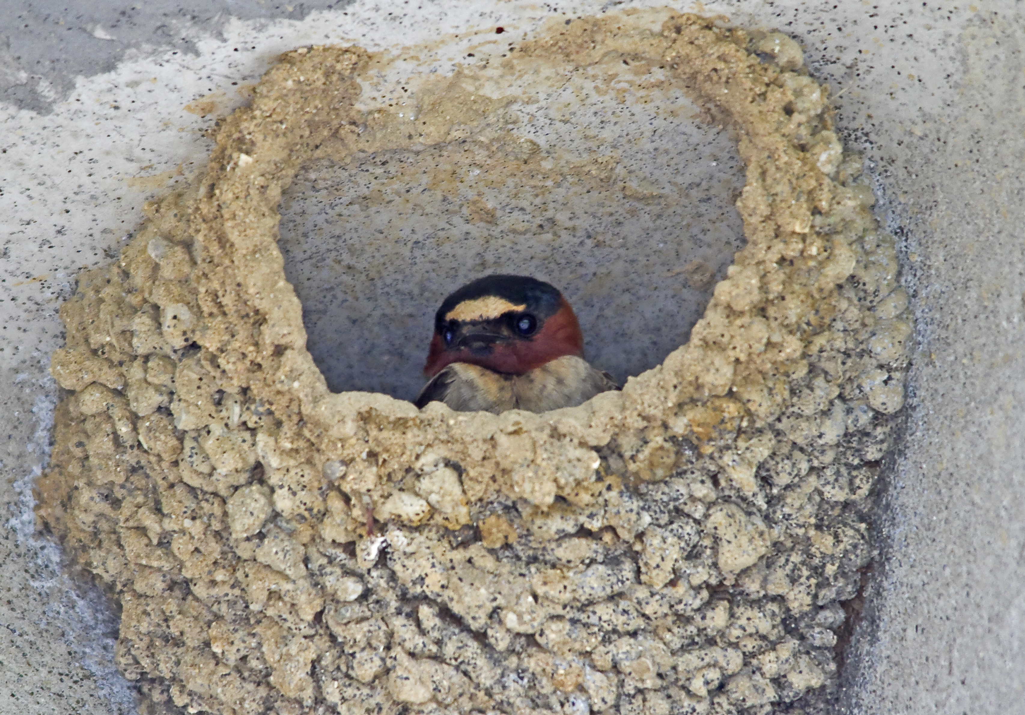 Cliff Swallow in nest at Eastwood Beach Stony Creek Metropark