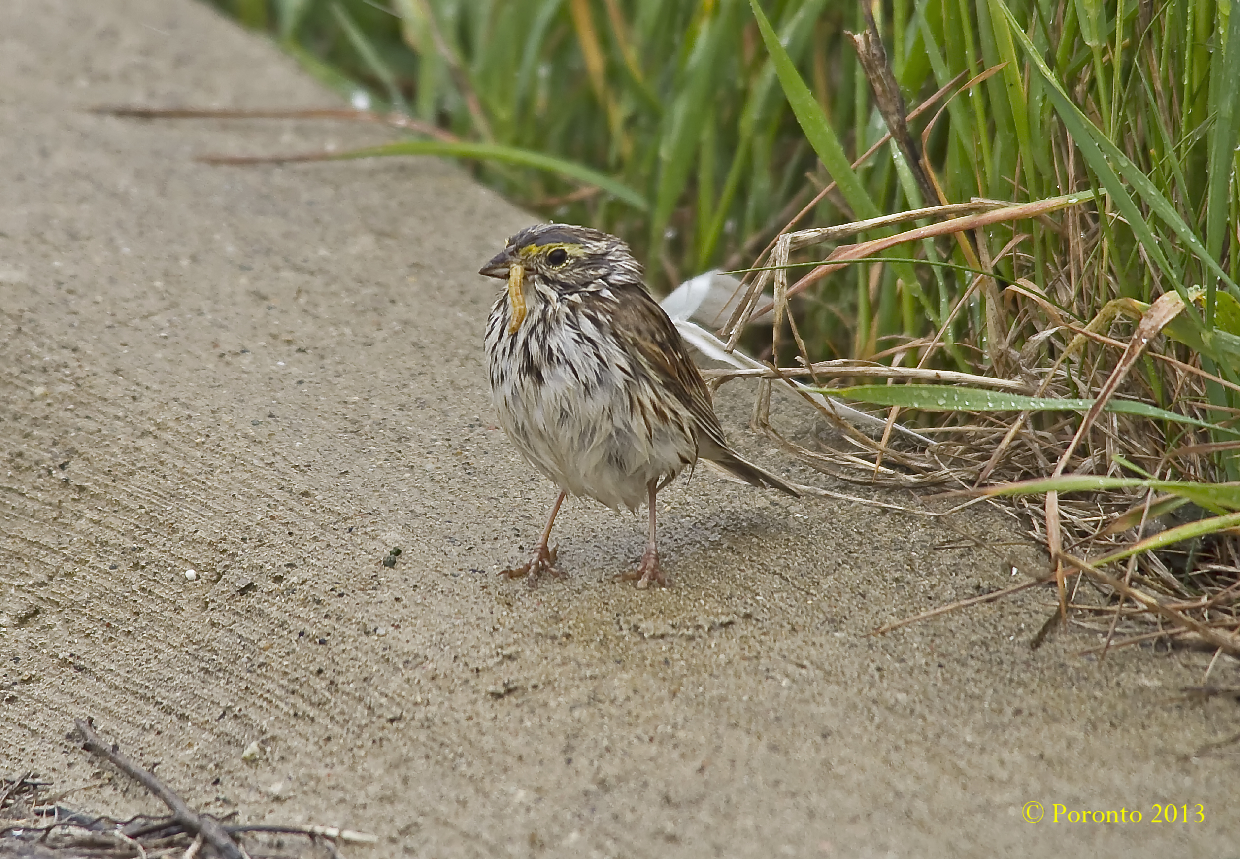 Savannah Sparrow with food for nestlings
