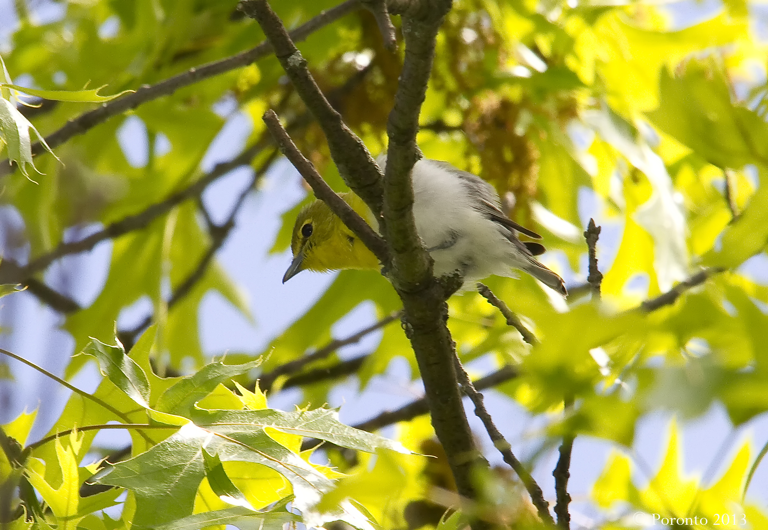 Yellow-throated Vireo.. best shot I could get as this dude would not come down from the canopy