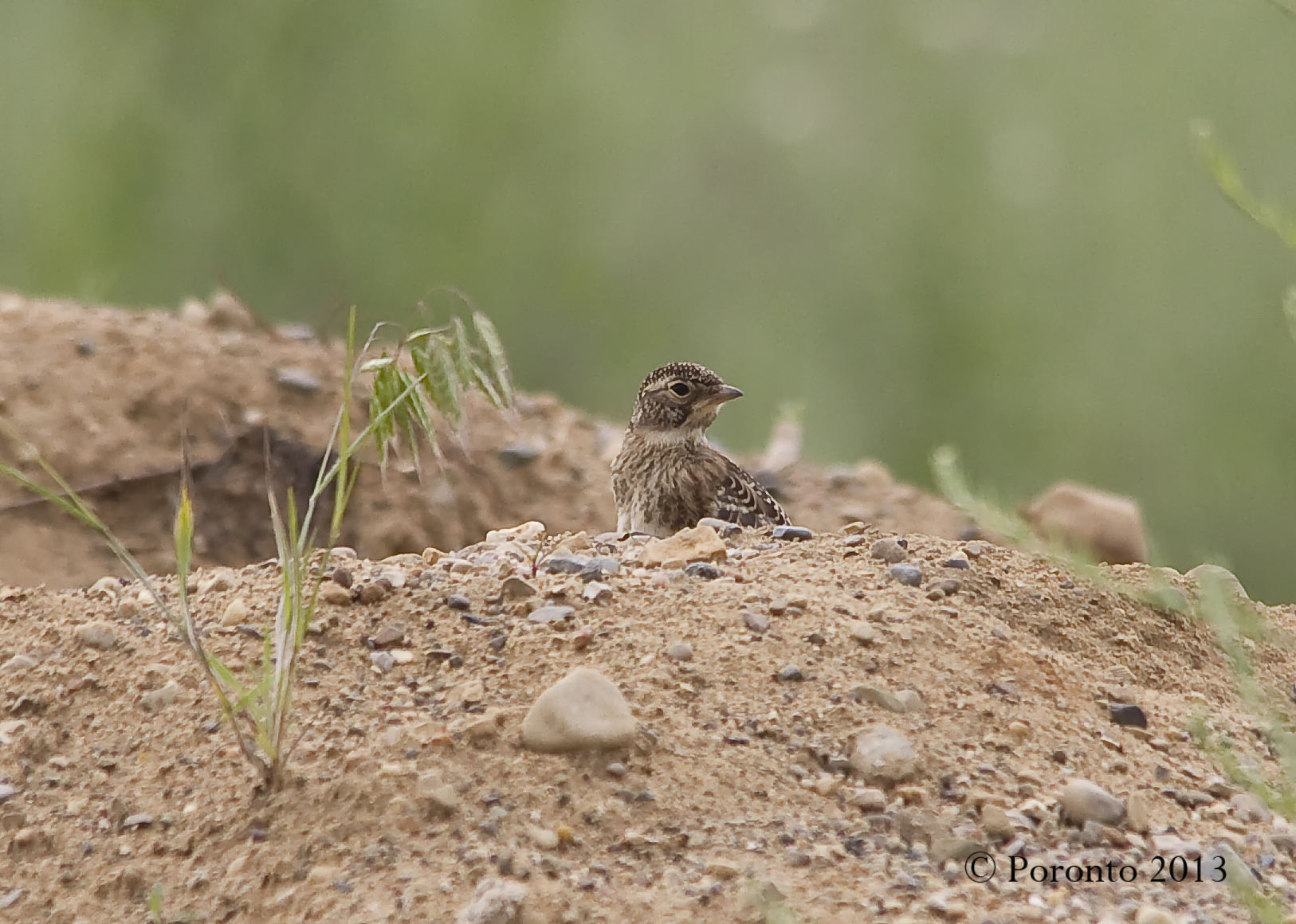 young Horned Lark