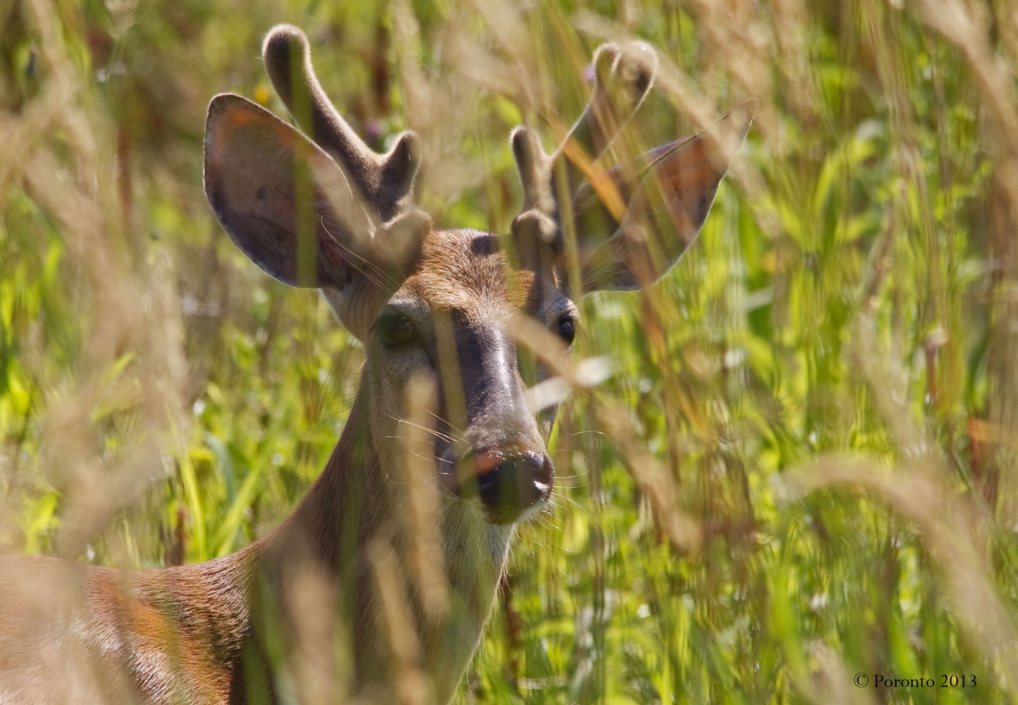 White-tailed Deer Buck staring me down as he stood up in the marsh...