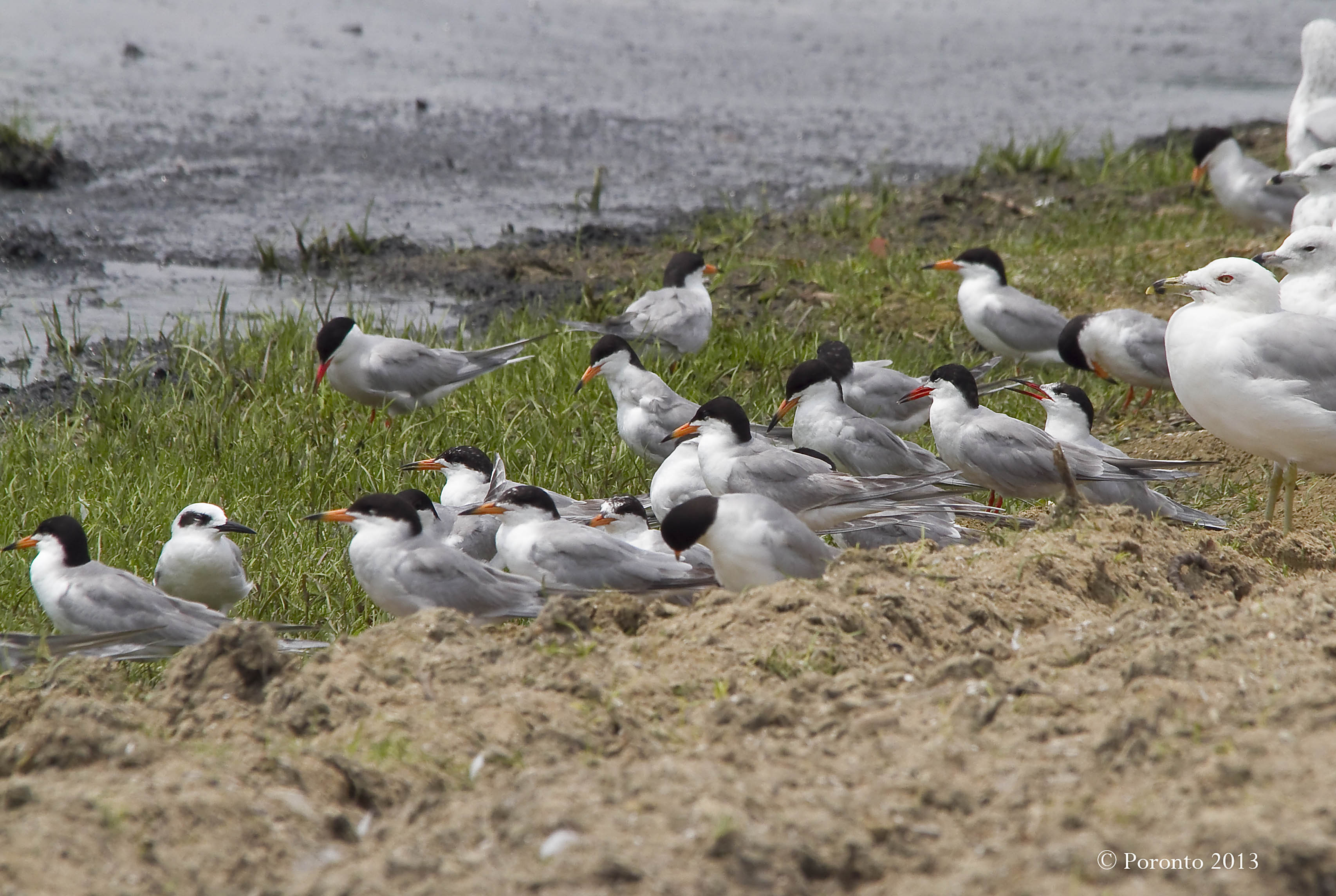 Mixture of Common and Forster's Terns