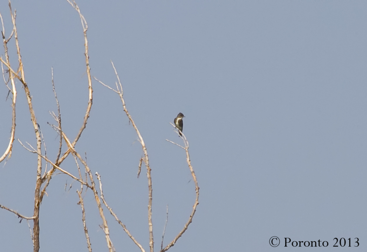 Olive-sided Flycatcher... a mile away...