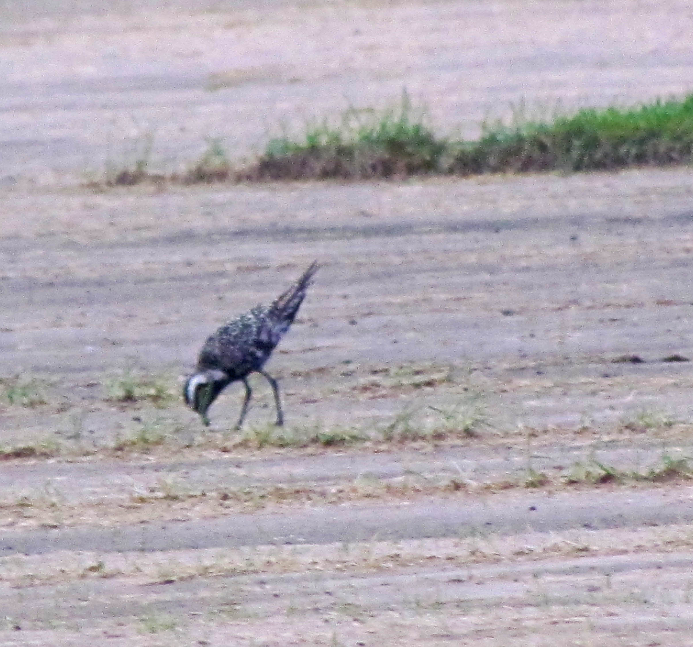 Another view of the American Golden Plover... courtesy of Kevin Rysiewski