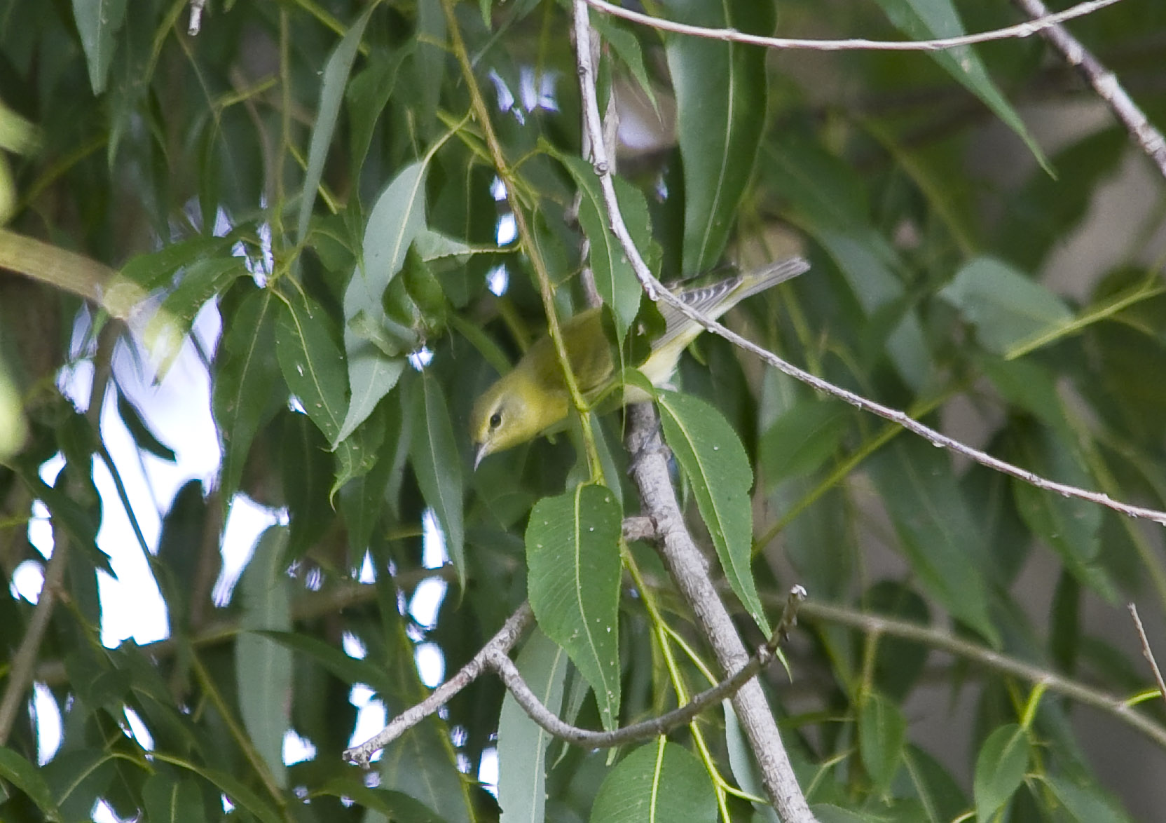 Tennessee Warbler... the photo is soft, but I always have a hard time getting a pic of one... so I am posting it anyways