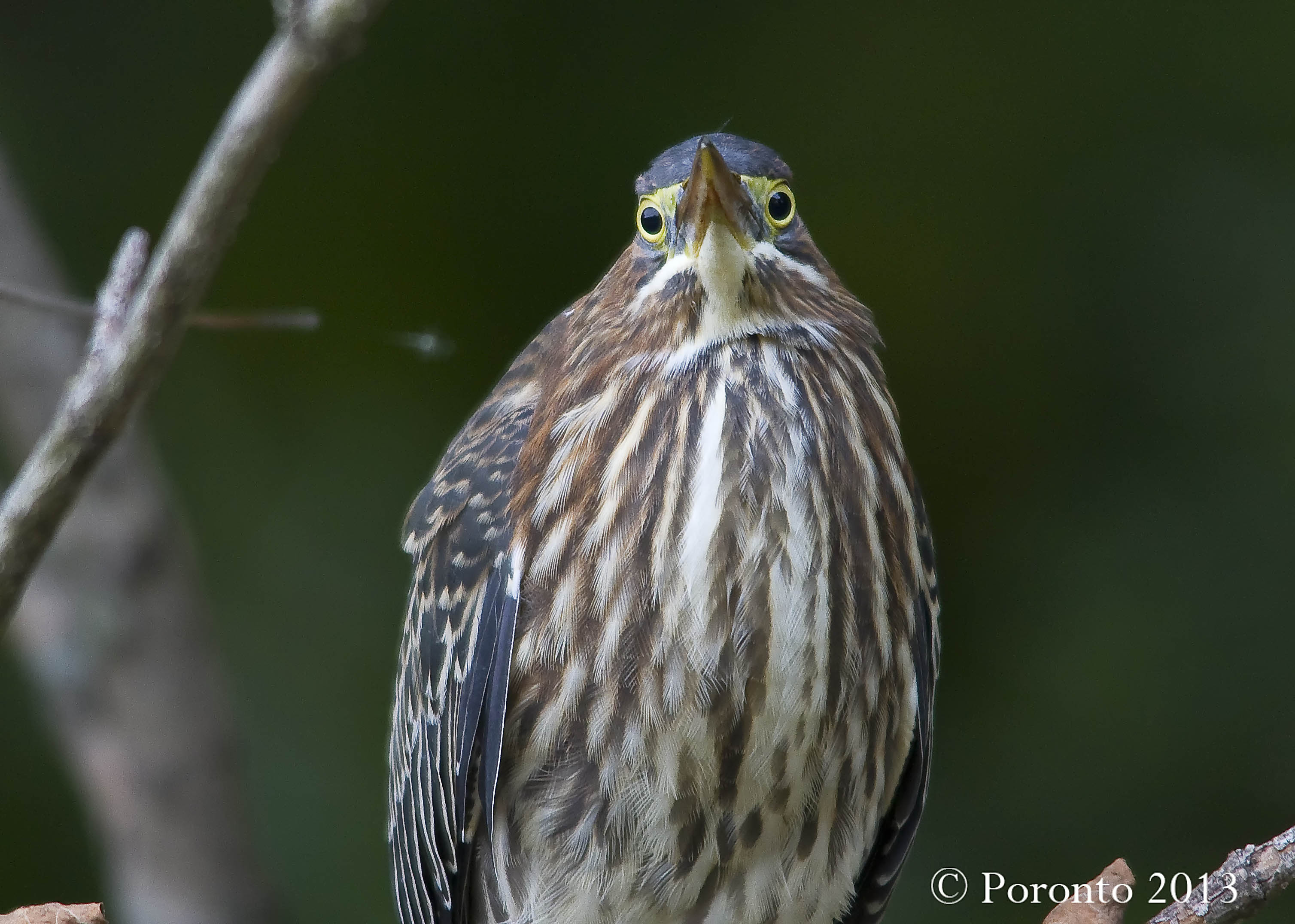 Green Heron - you can appreciate how the eyes are looking forward when his head is tilted upward