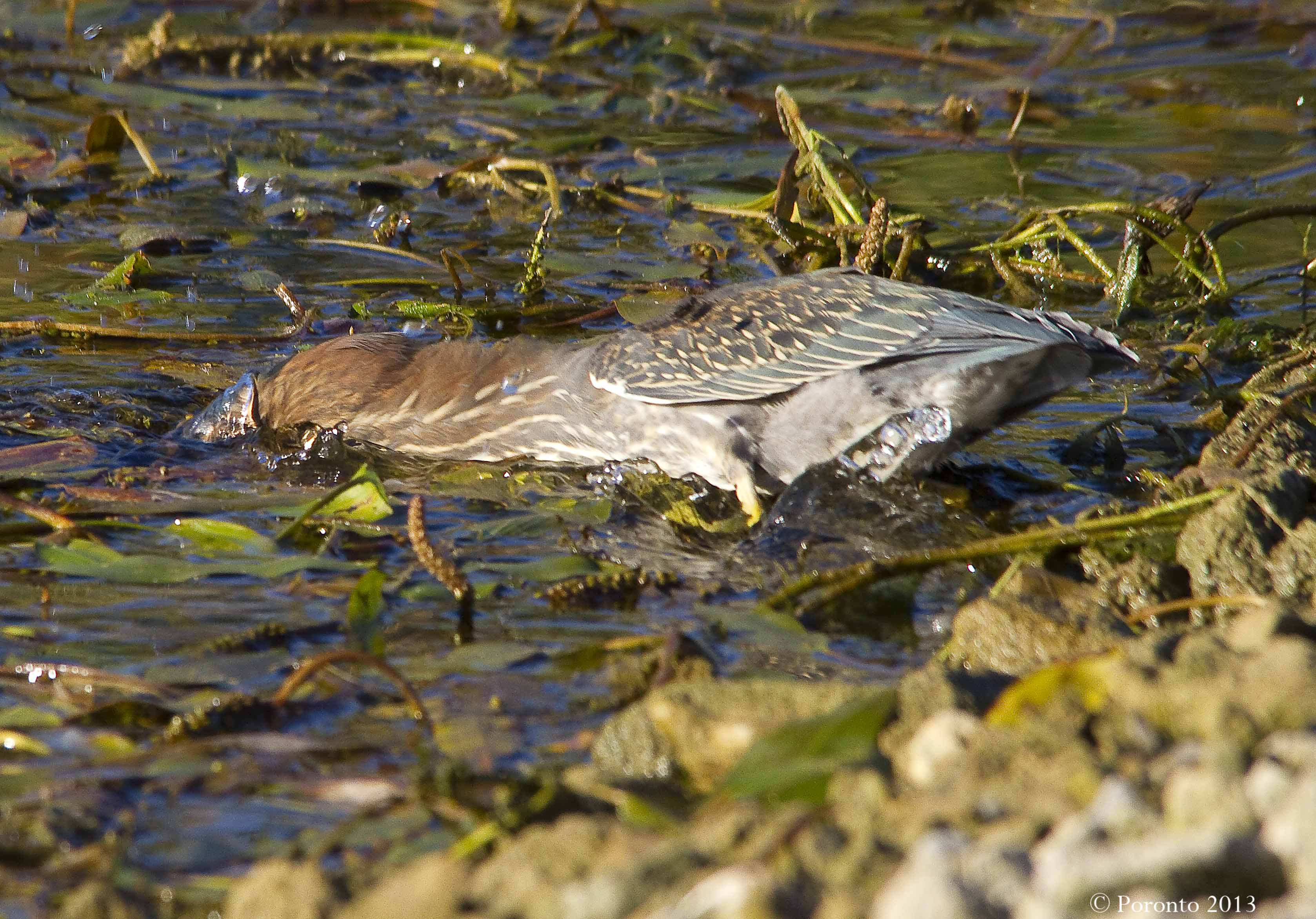 Green Heron caught right in the middle of his dive for a minnow
