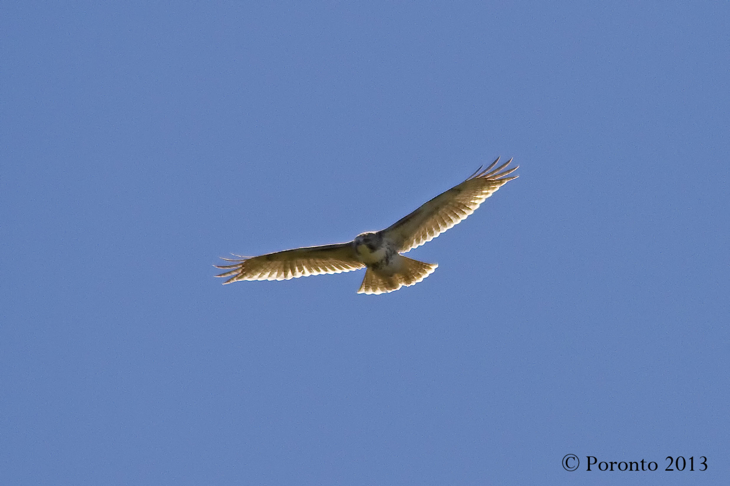 Juvenile Red-tailed Hawk as the sun illuminated his wings