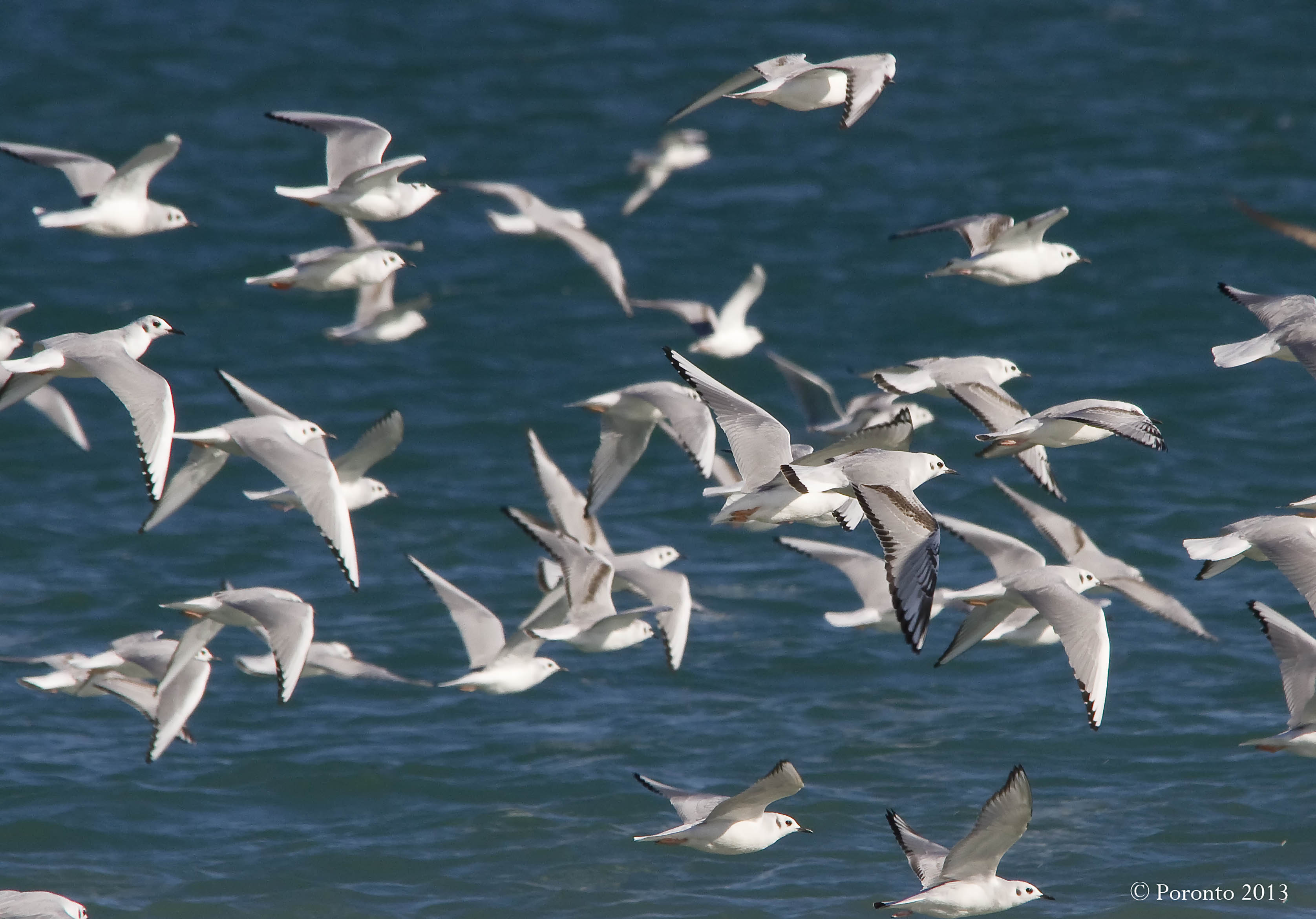 Some of the Bonaparte's Gulls.... there were hundreds