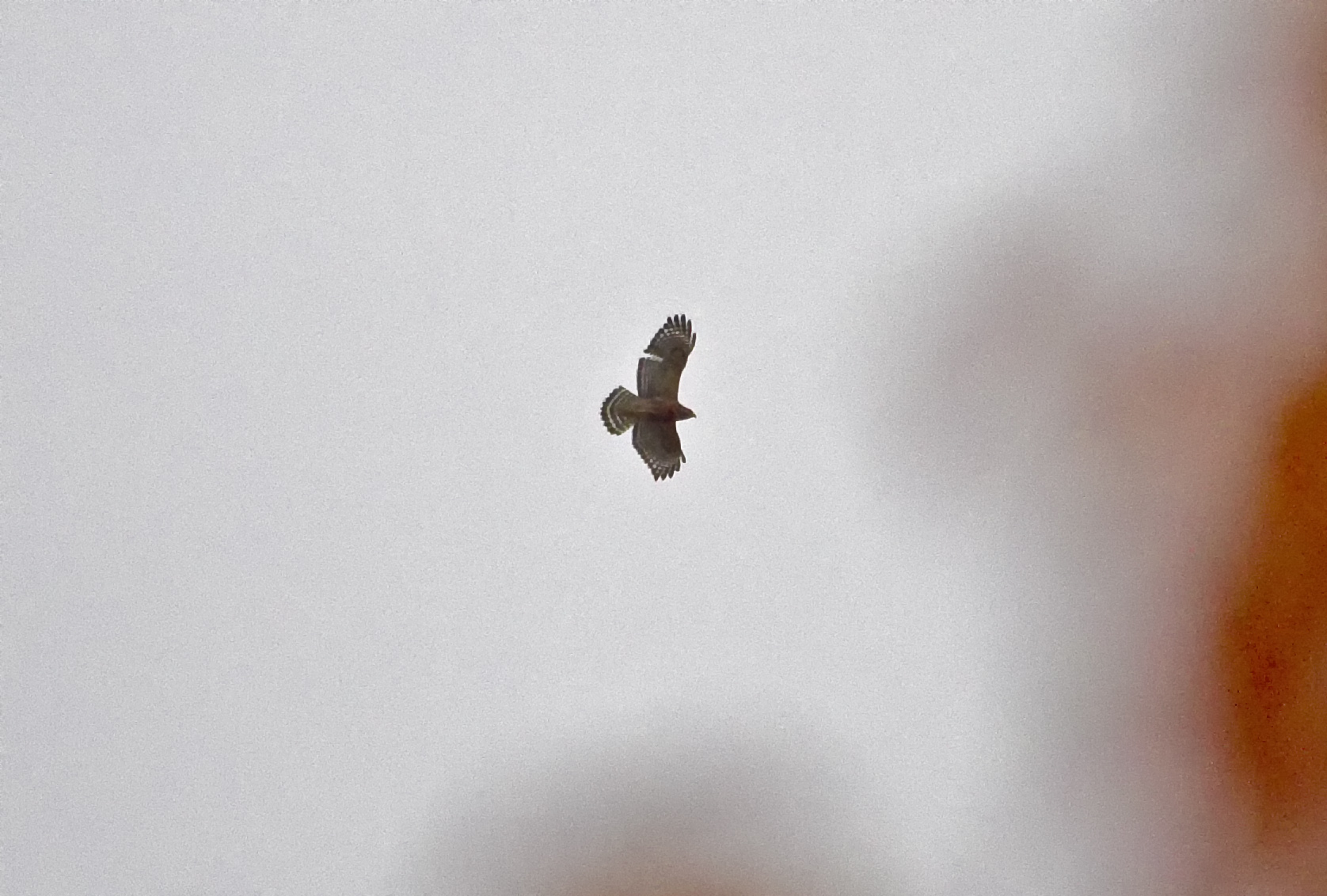 The only decent shot of the Red-shouldered Hawk as it flew over my Jeep today