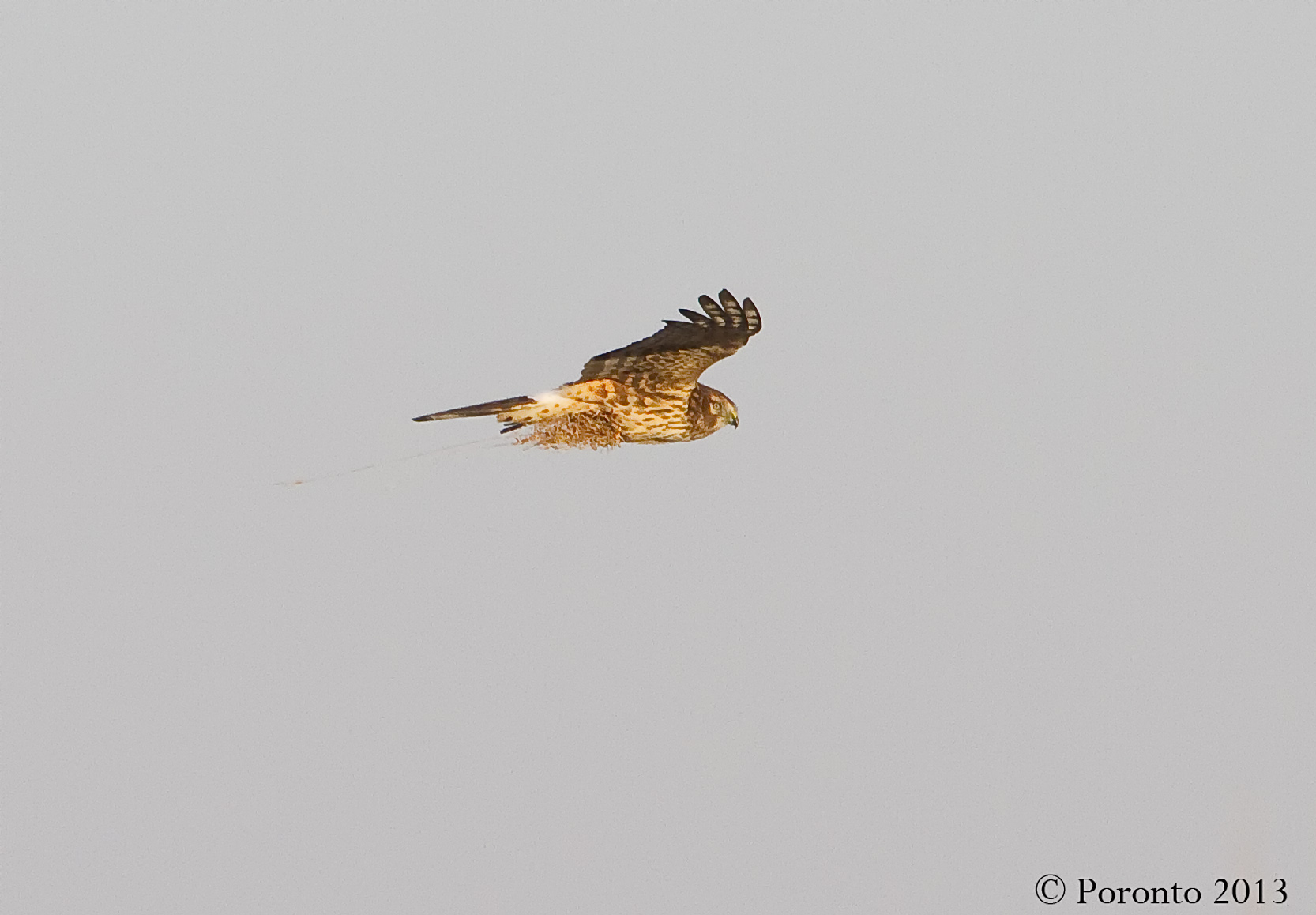 Northern Harrier carrying what looks like nesting material