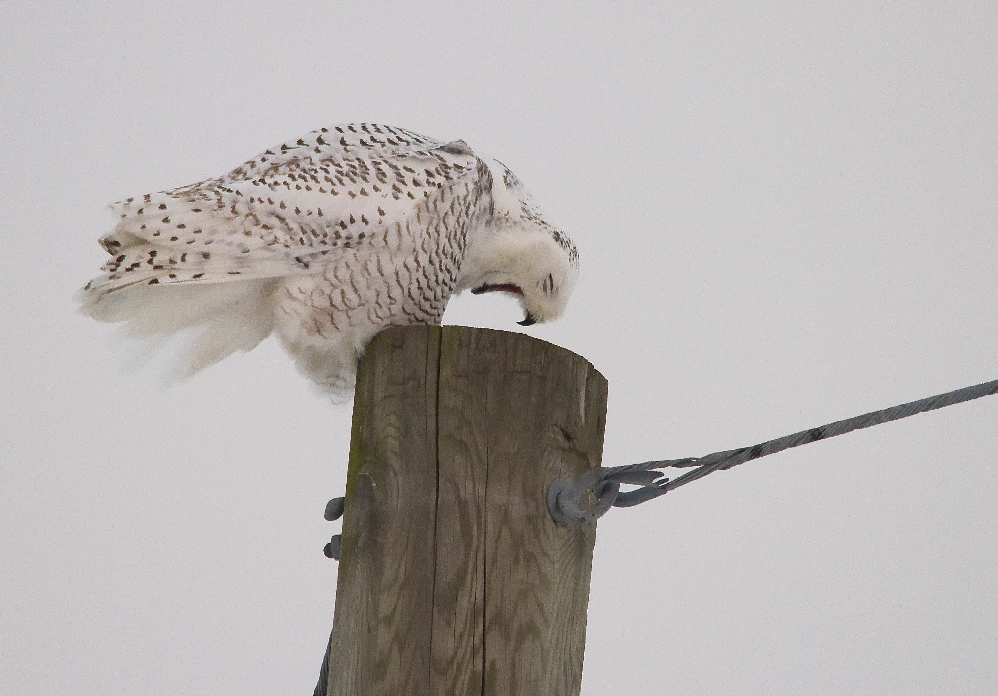 Snowy Owl barfing up a Pellet