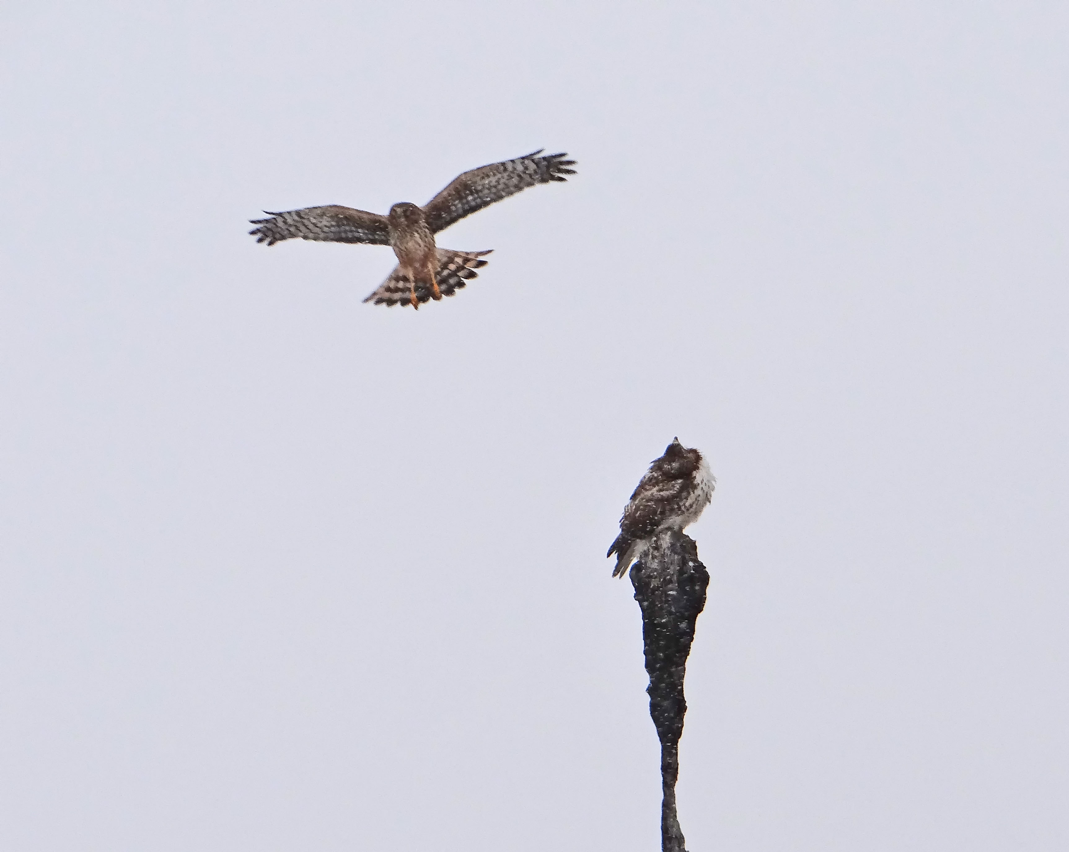 Northern Harrier attacking a Red-tailed Hawk... Photo courtesy of Wayne Hoch