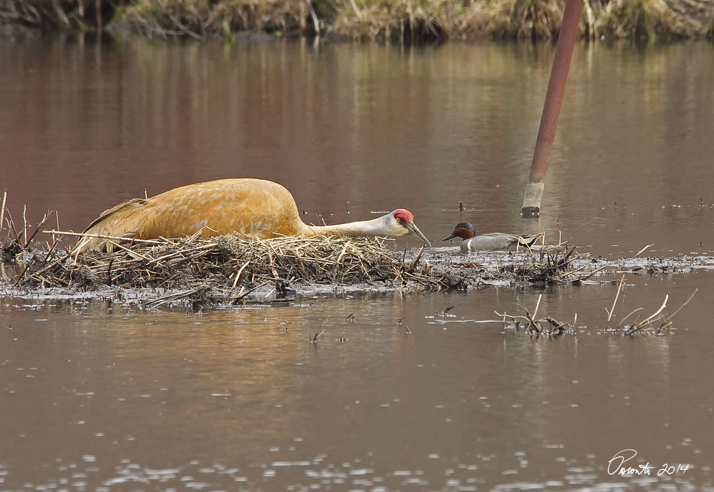 Sandhill Crane on nest with a Green-winged Teal checking her out