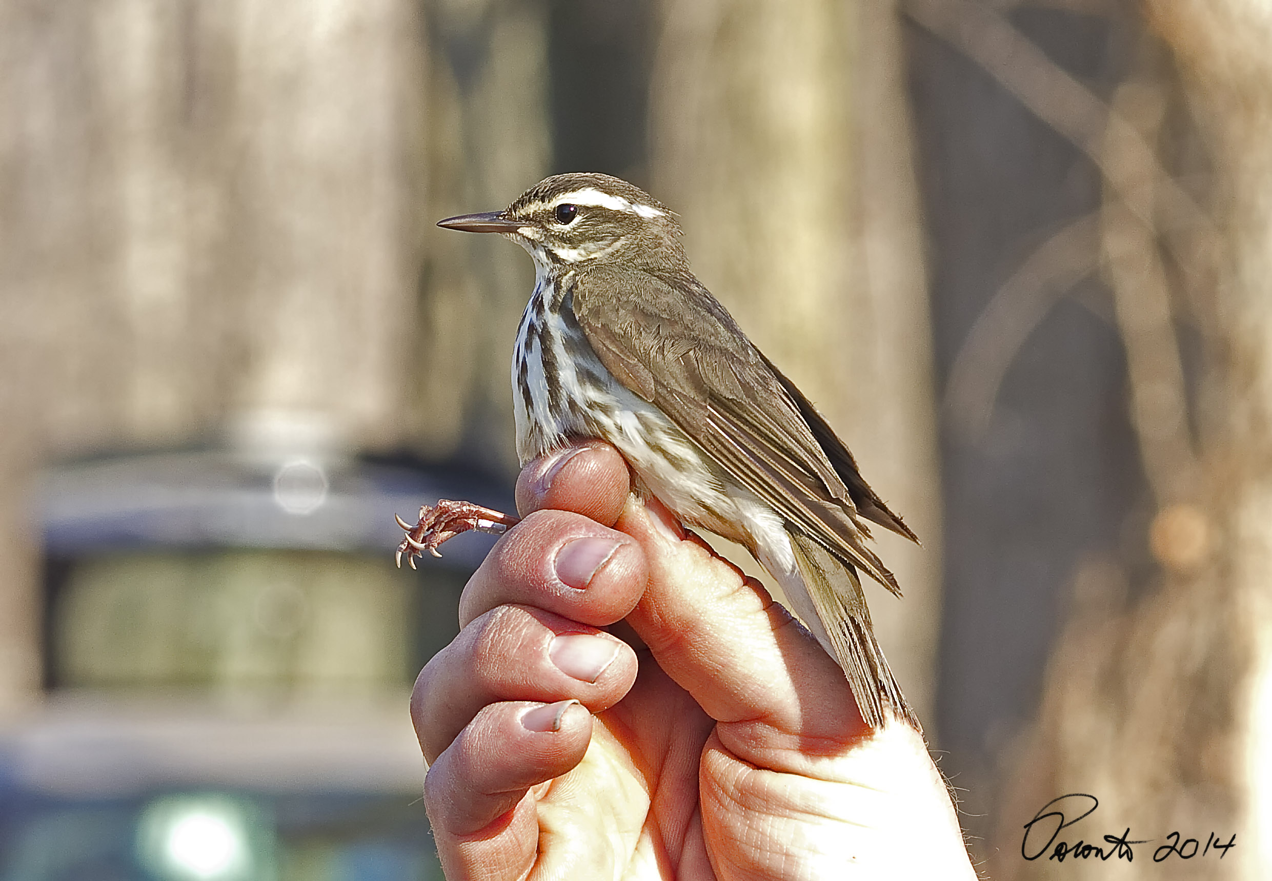 Louisiana Waterthrush right before its released after being banded