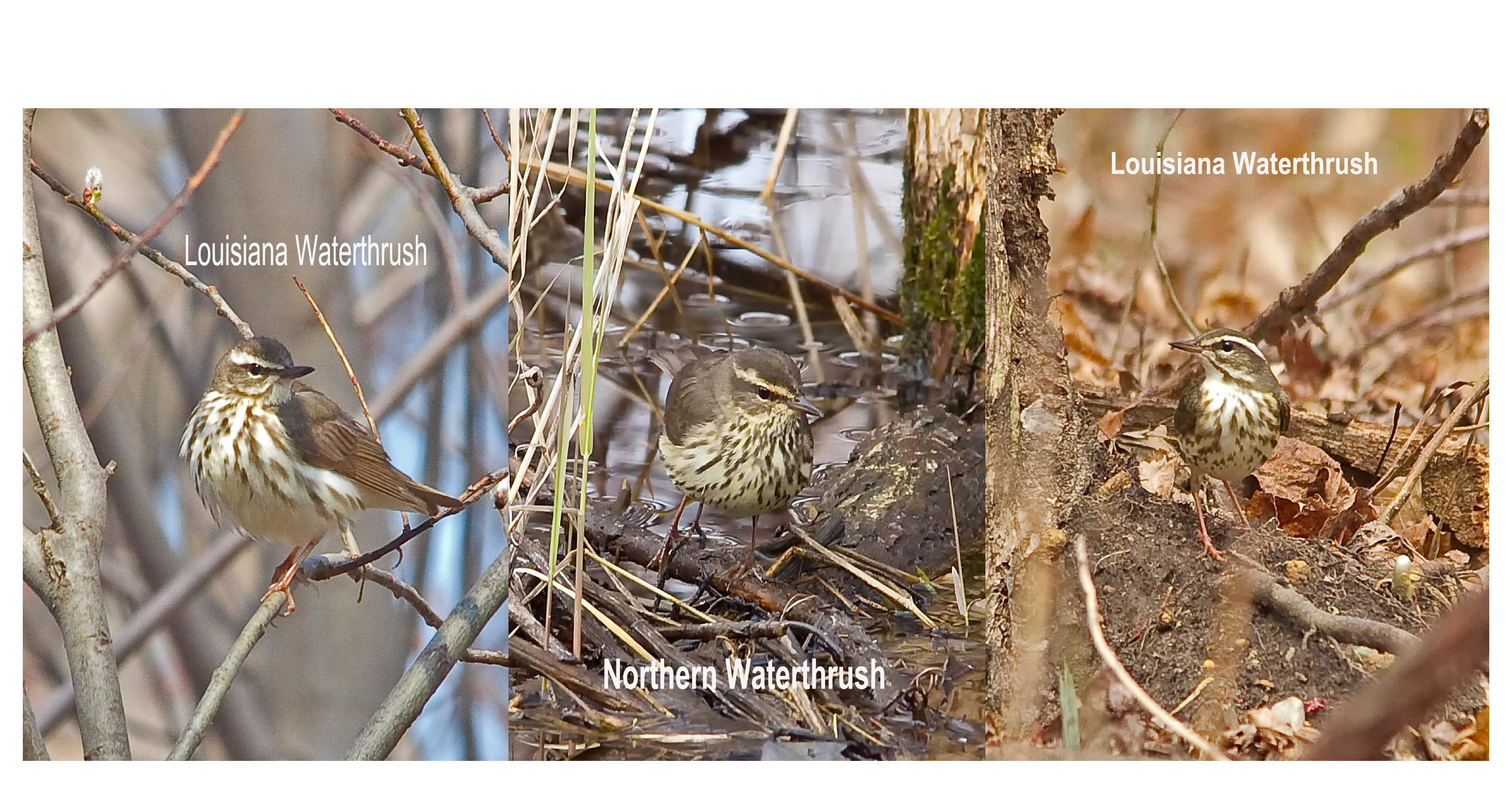 Northern and Louisiana Waterthrush comparison