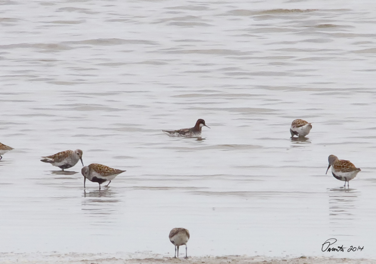 Red-necked Phalarope from  about a 100 yards...