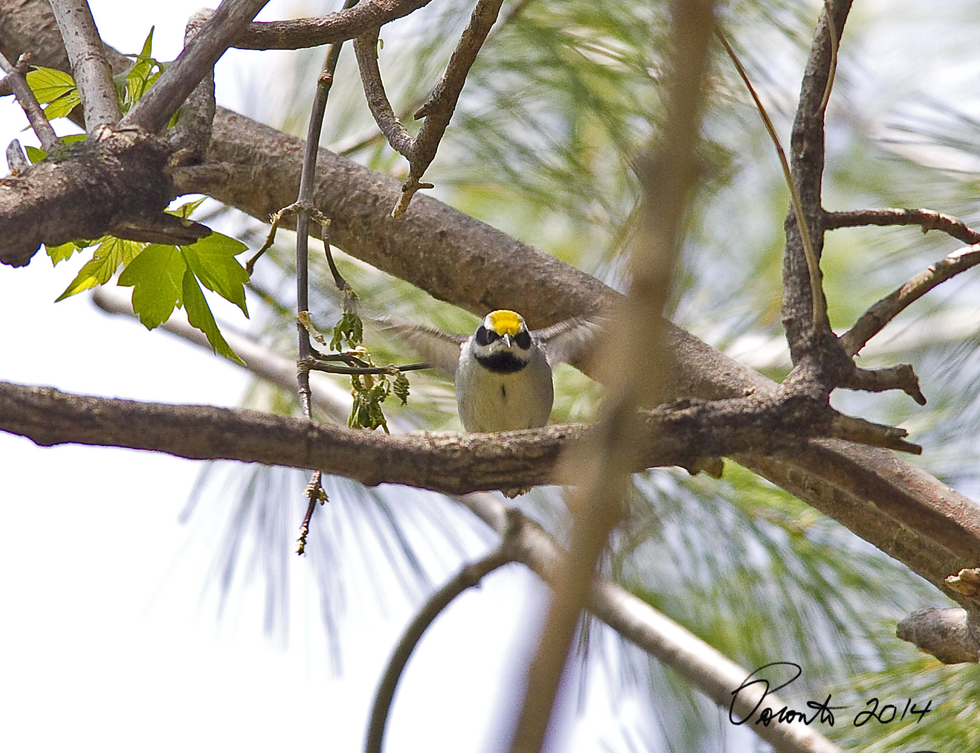 Its a bad photo, but its the only one that is good enough to post of the Golden-winged Warbler