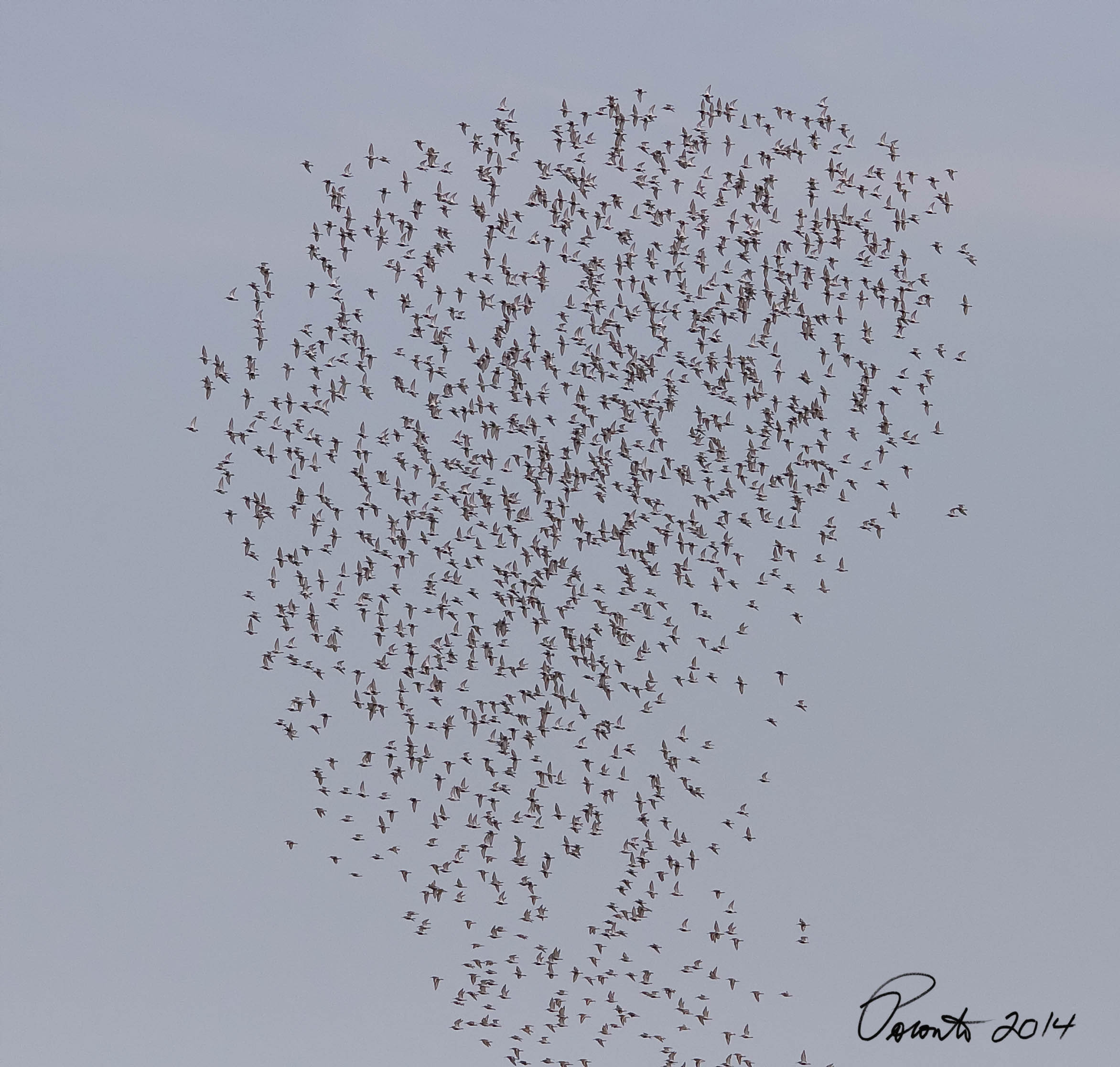 Huge flock of Sandpipers after a Peregrine Falcon buzzed them