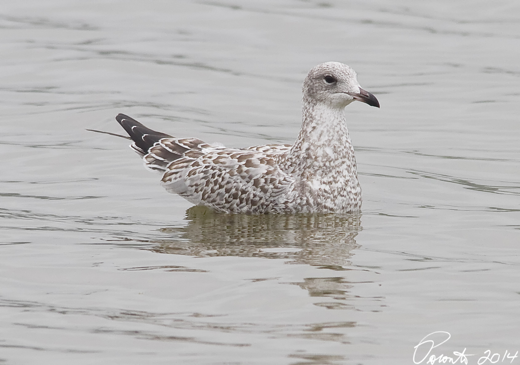 First Cycle Ring-billed Gull - mostly worn juvenal plumage