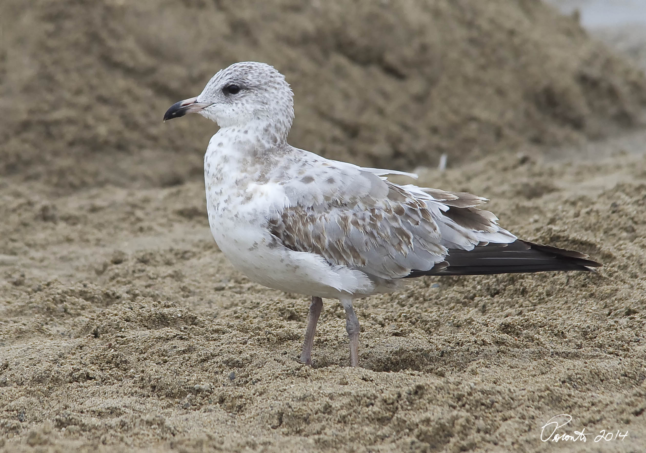 First Cycle Ring-billed Gull post juvenal molt - first winter bird