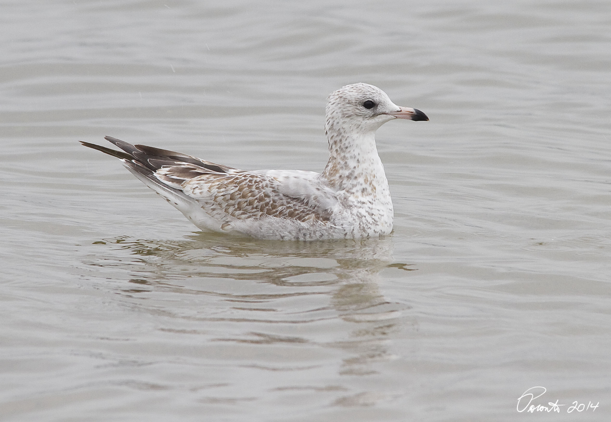 First cycle Ring-billed Gull - post juvenal molt has begun