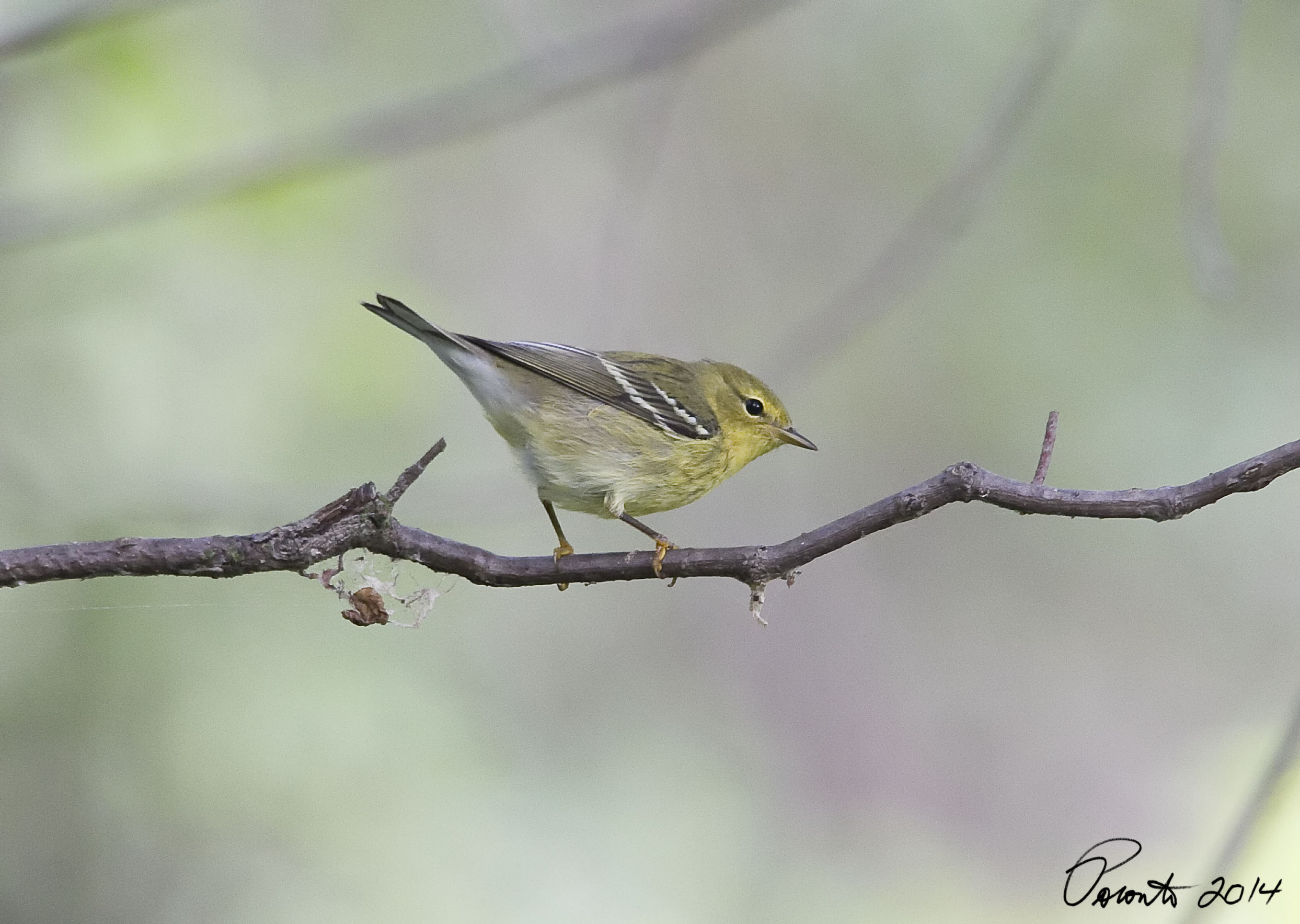 Blackpoll Warbler - one of many of the yellow footed birds that were in the park today