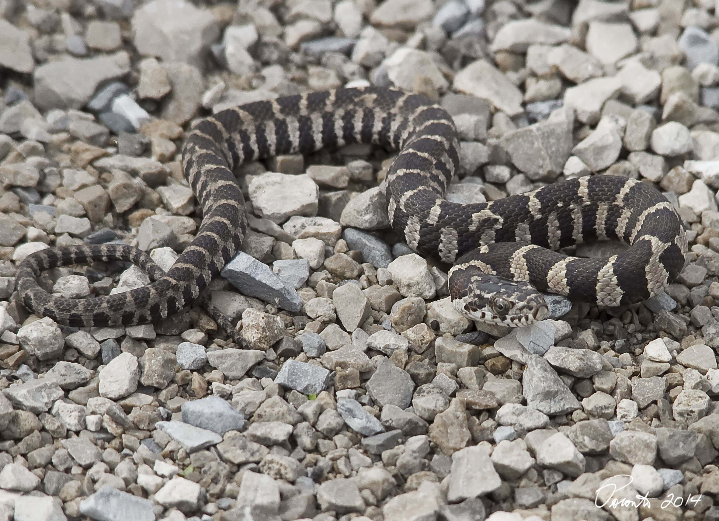baby Northern Watersnake on the path... it was only about 4 inches long