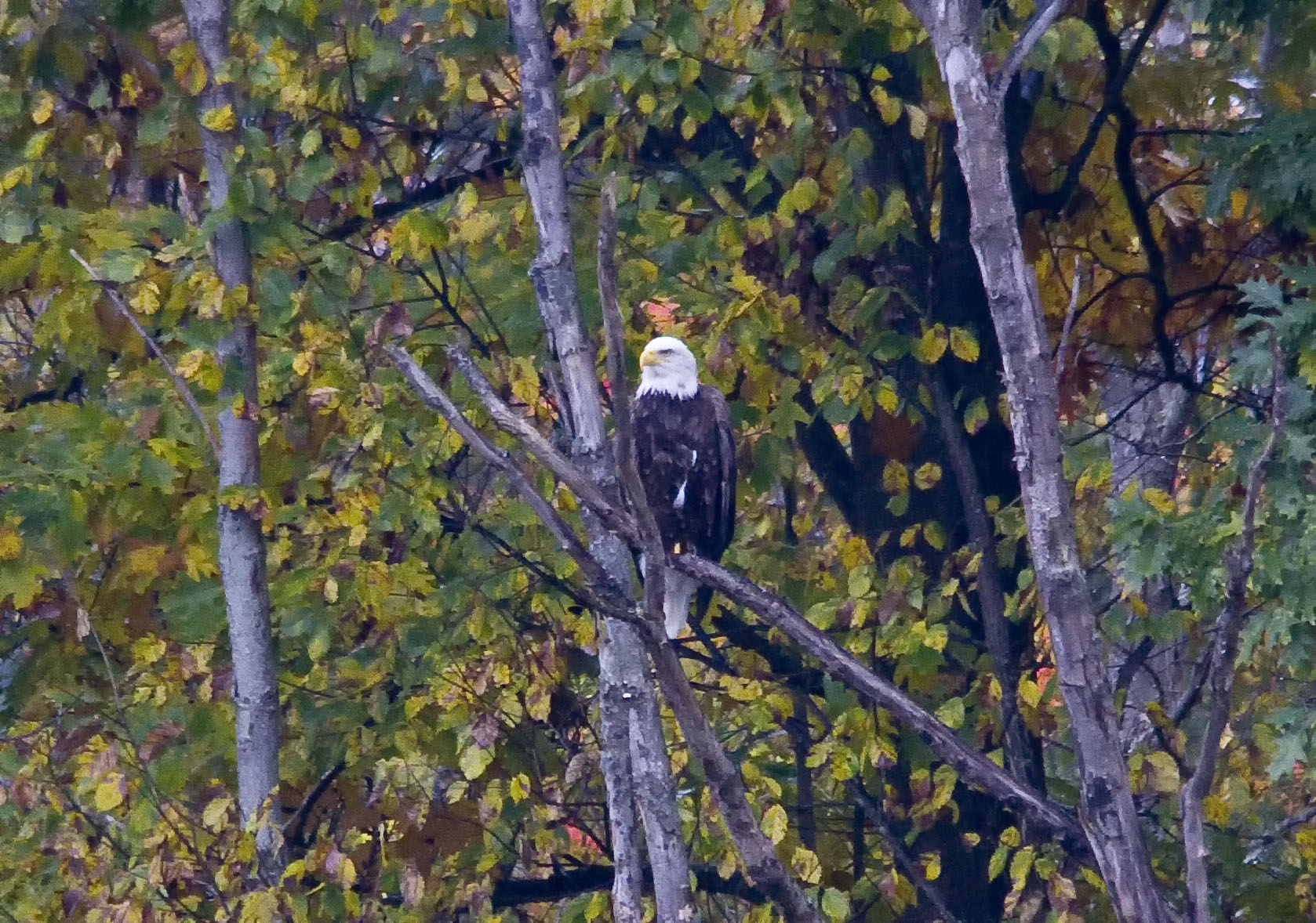 Bald Eagle on the Island... this is a major crop job as it was a long ways off