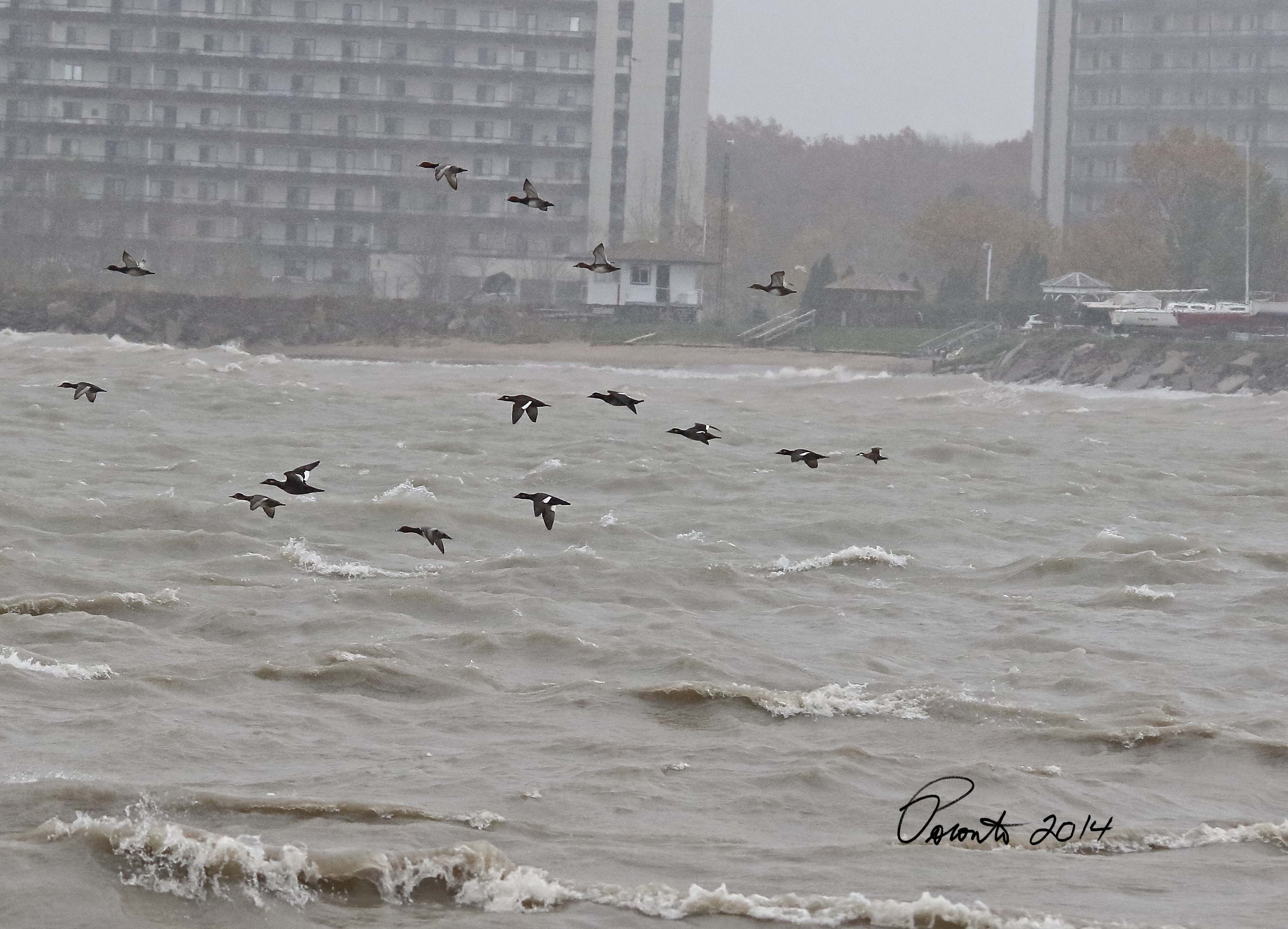 Redheads and White-winged Scoters.... Lets not forget about the single Ruddy bringing up the rear