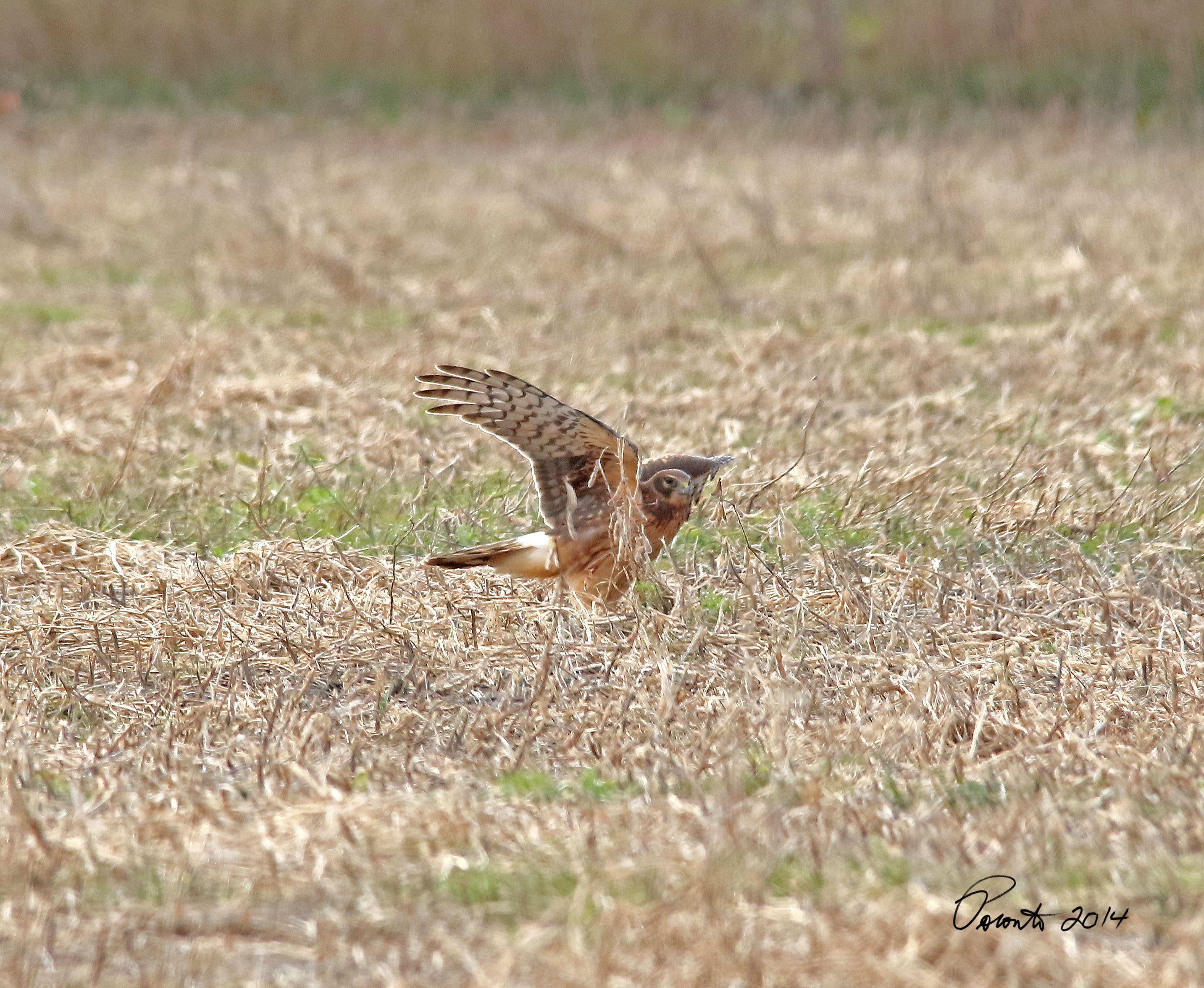 Northern Harrier pouncing on a mouse