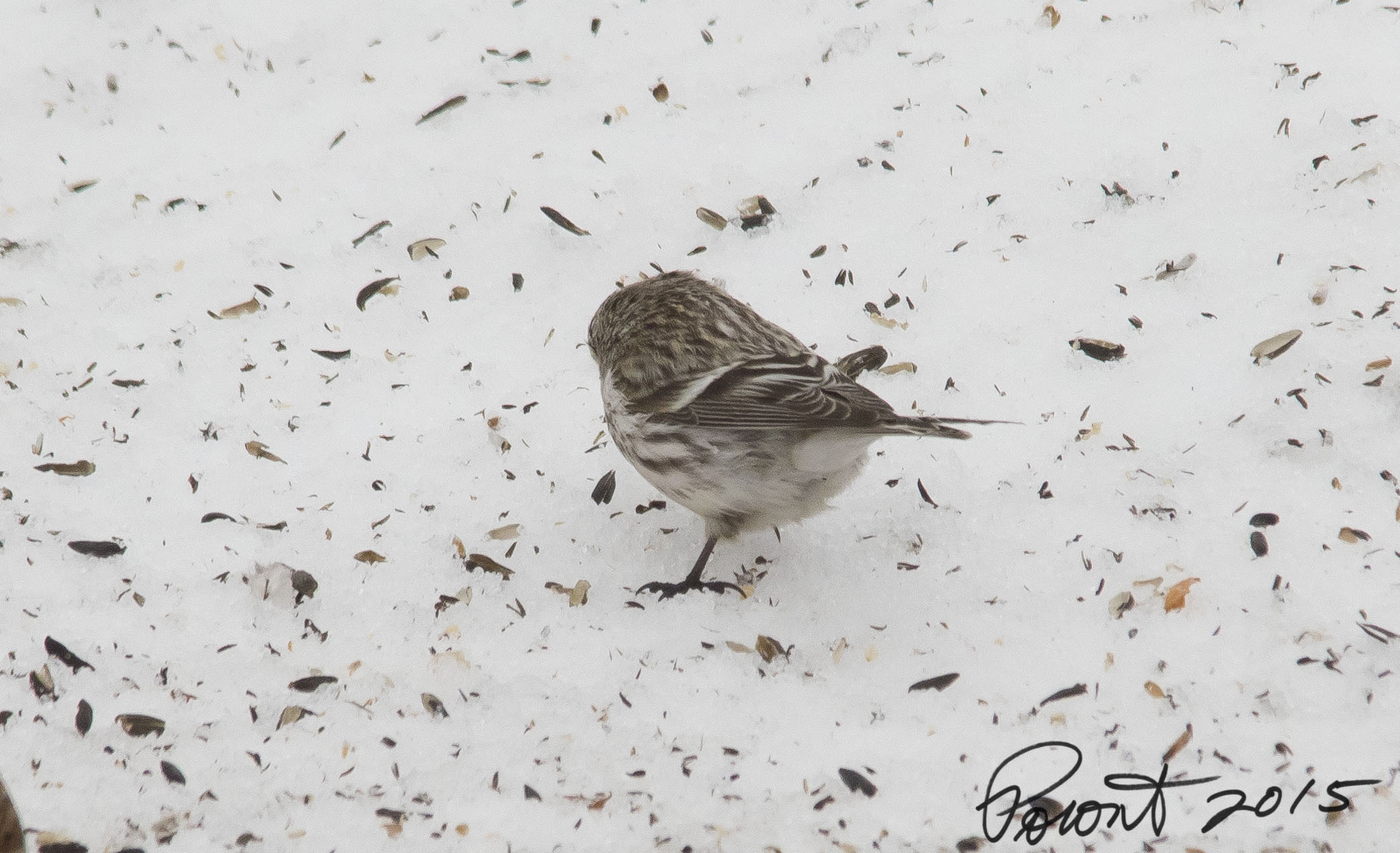 Hoary Redpoll possible. Note pure white undertail coverts
