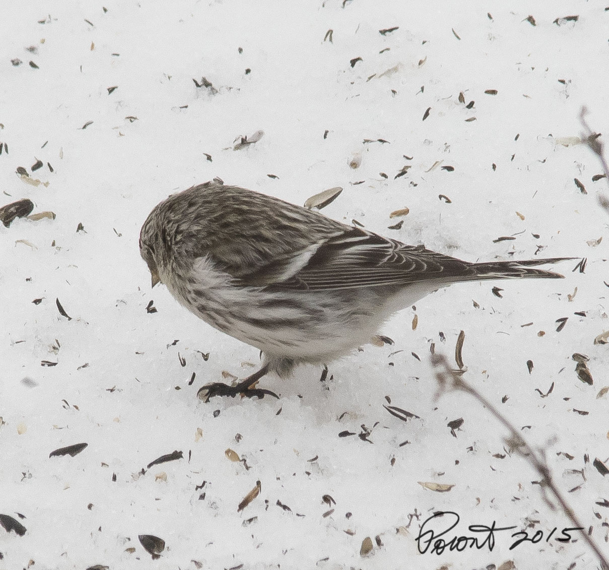 Possible Hoary Redpoll