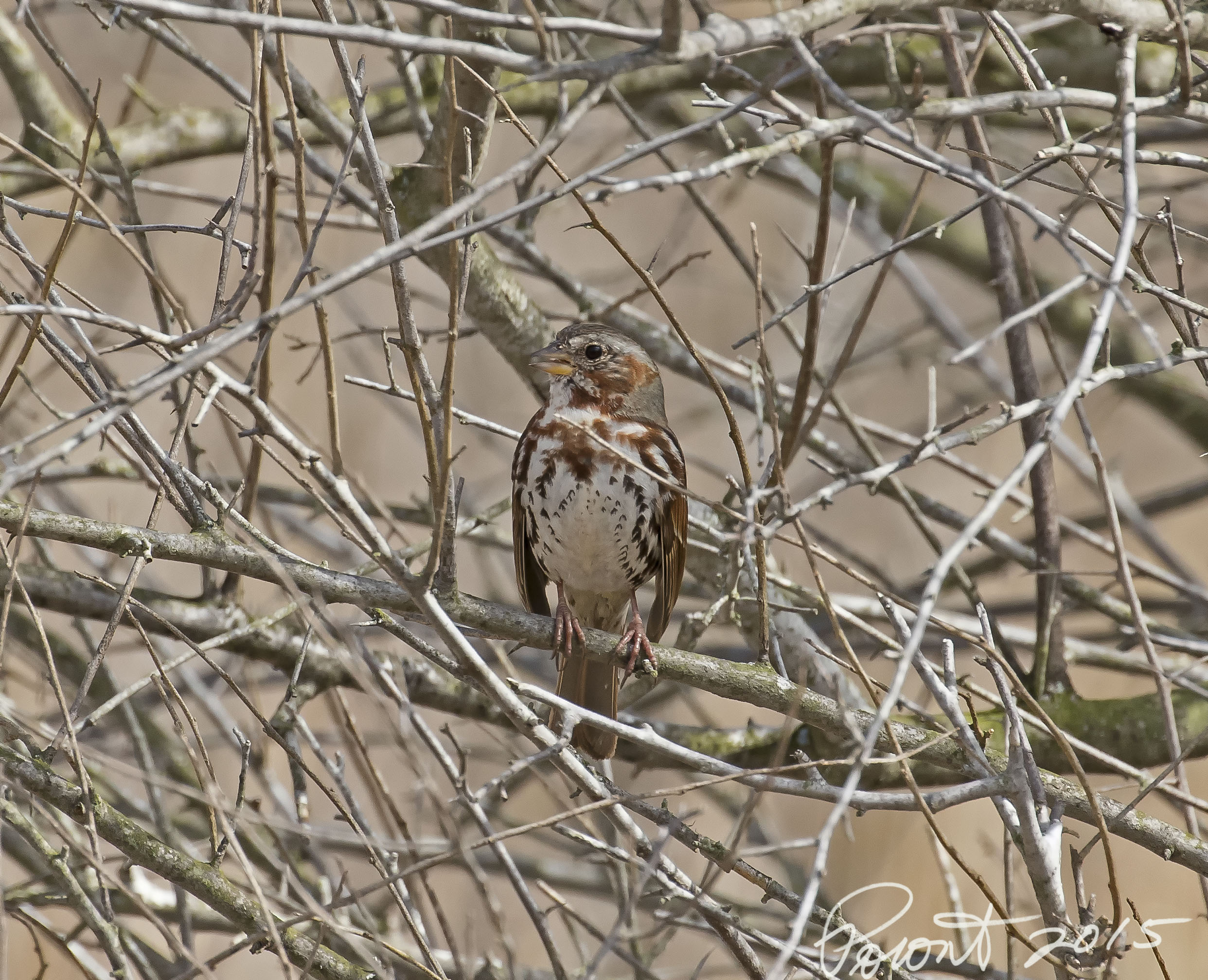 Fox Sparrow - Inwood Traills