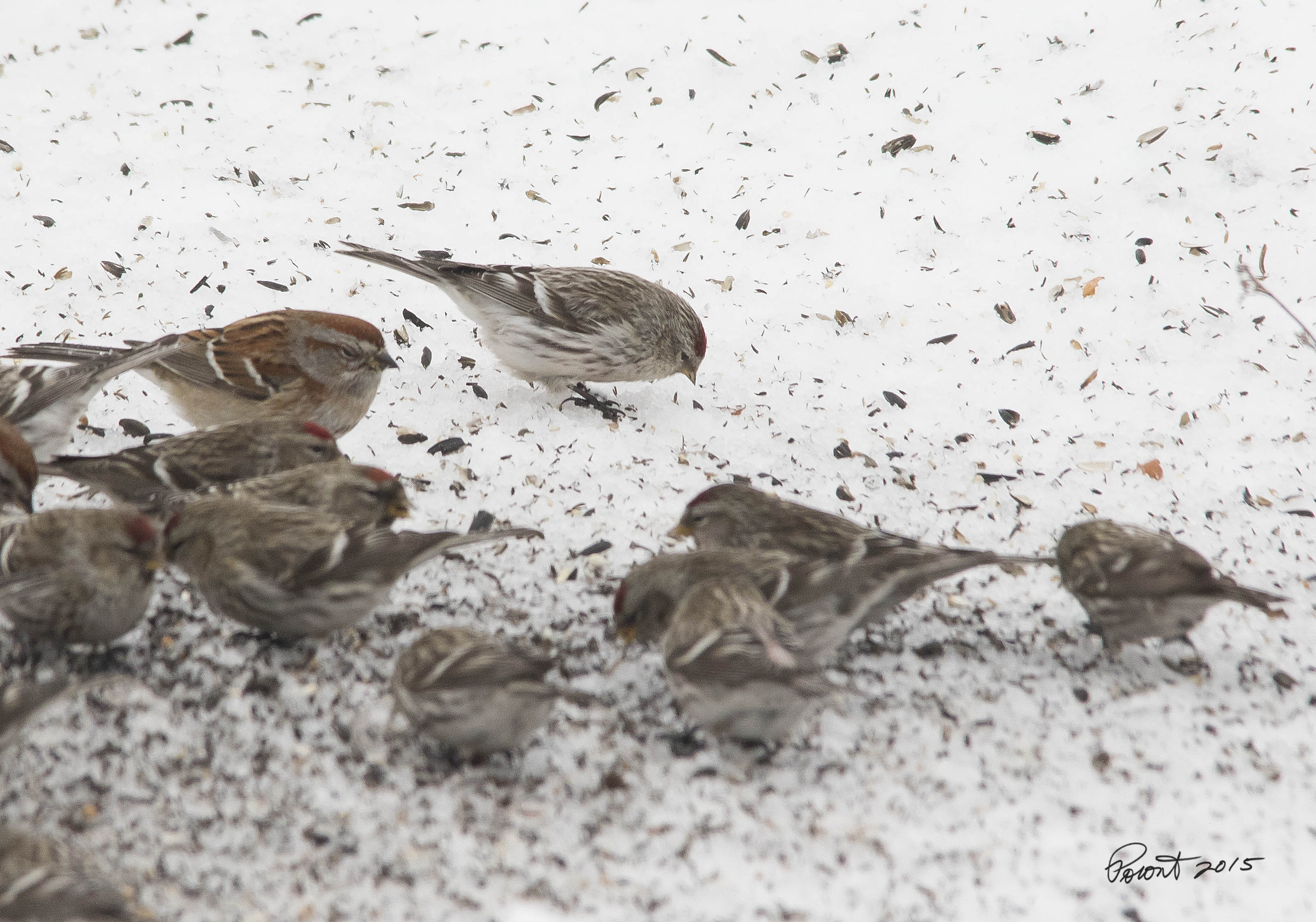 Possible Hoary Redpoll.. Small pointed bill pushed inward and white undertail coverts