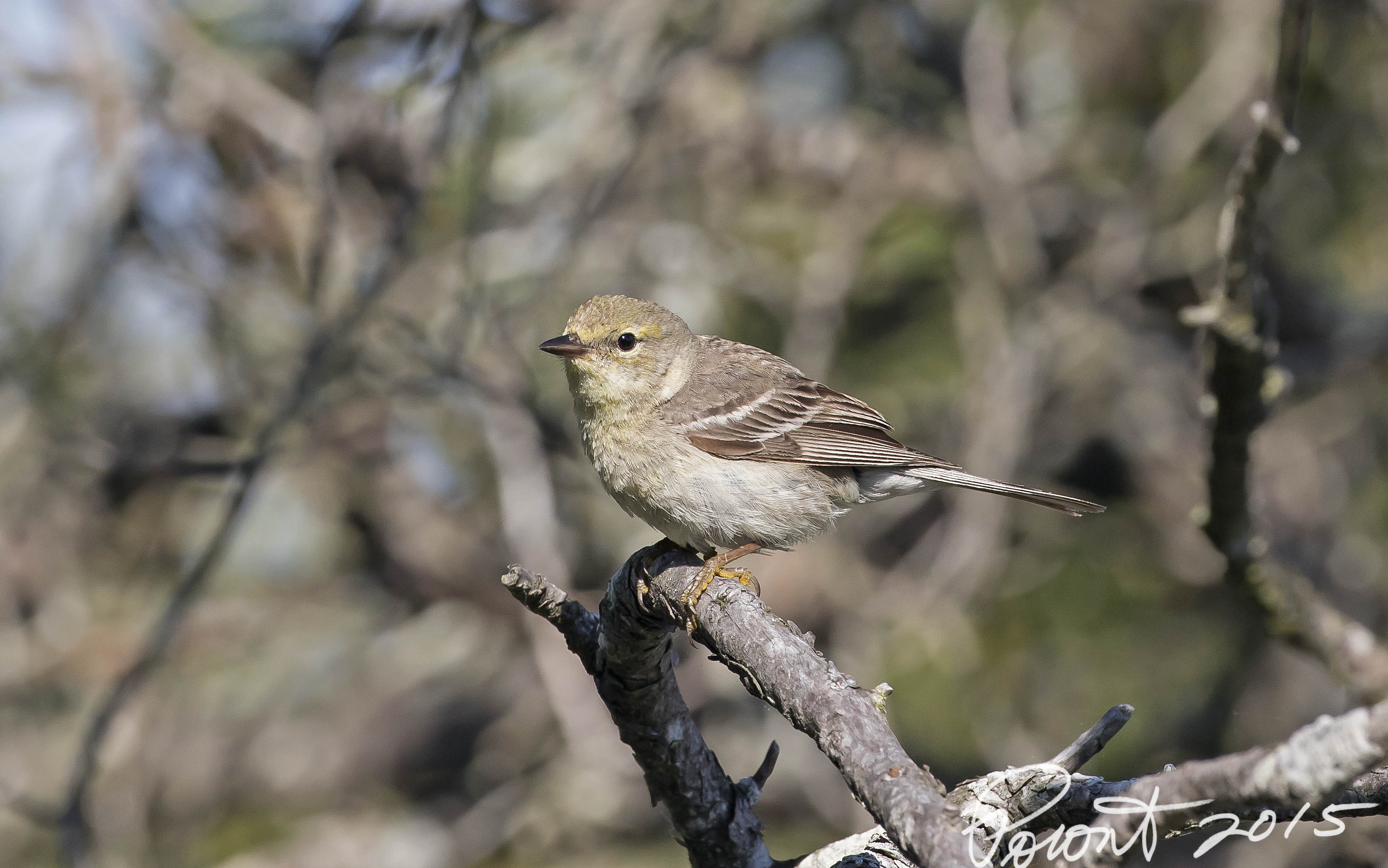 Pine Warbler Juvenile... This one had me fooled and I had to phone a friend..