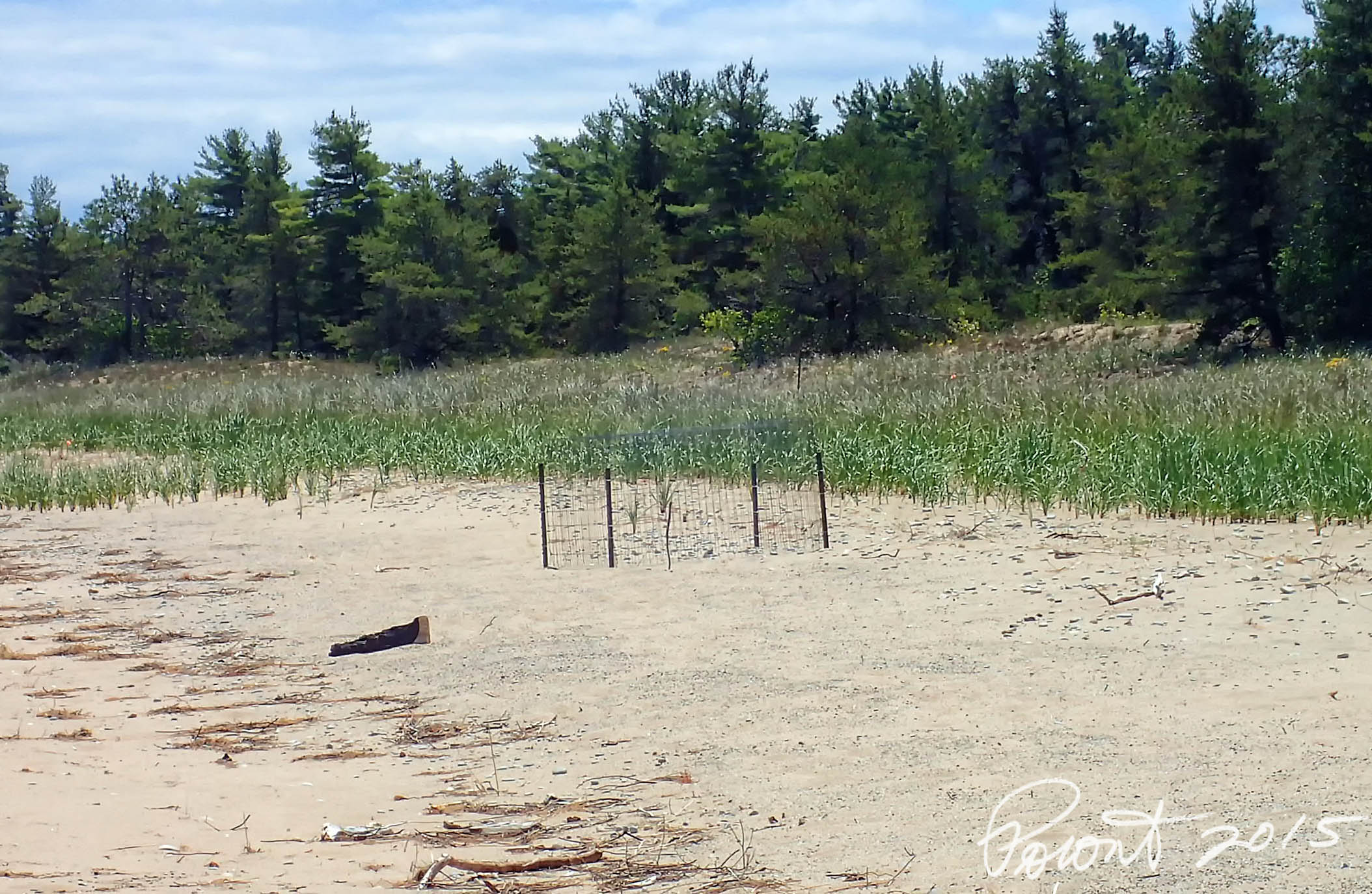 Piping Plover cage protecting the nest...