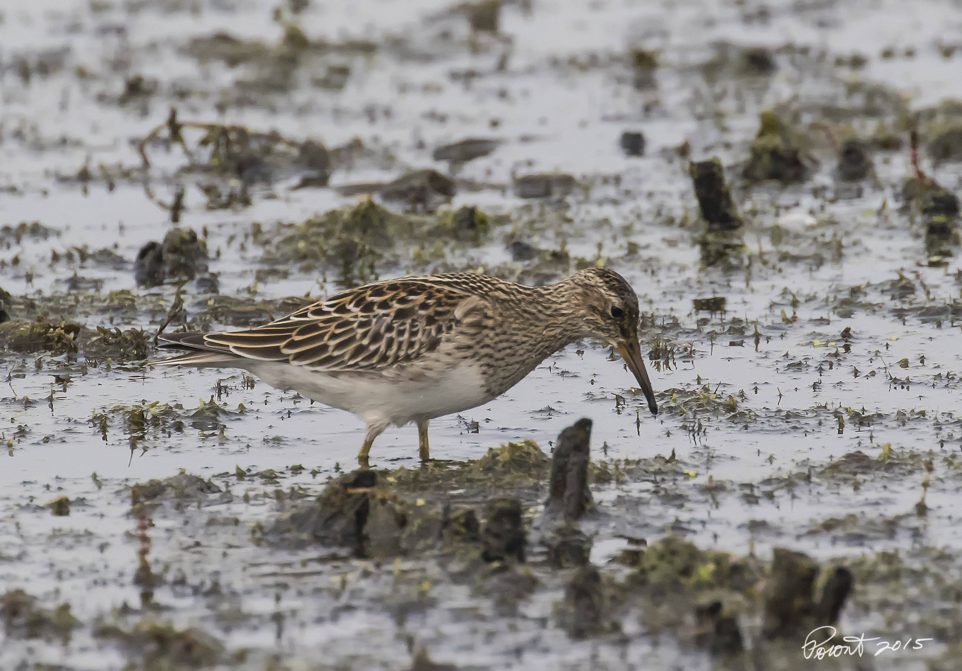 Pectoral Sandpiper at Pointe Mouille